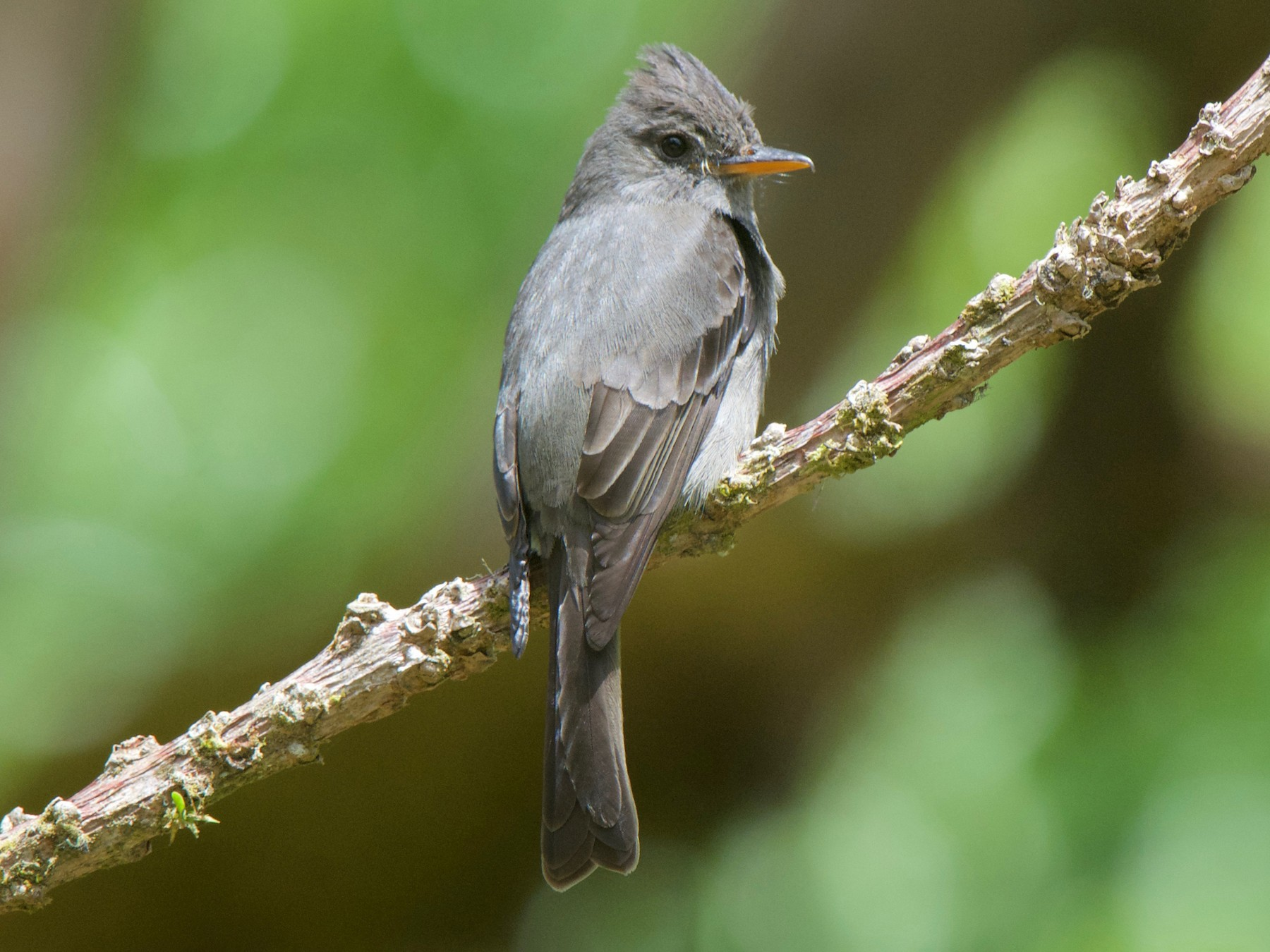 Dark Pewee - Cory Gregory