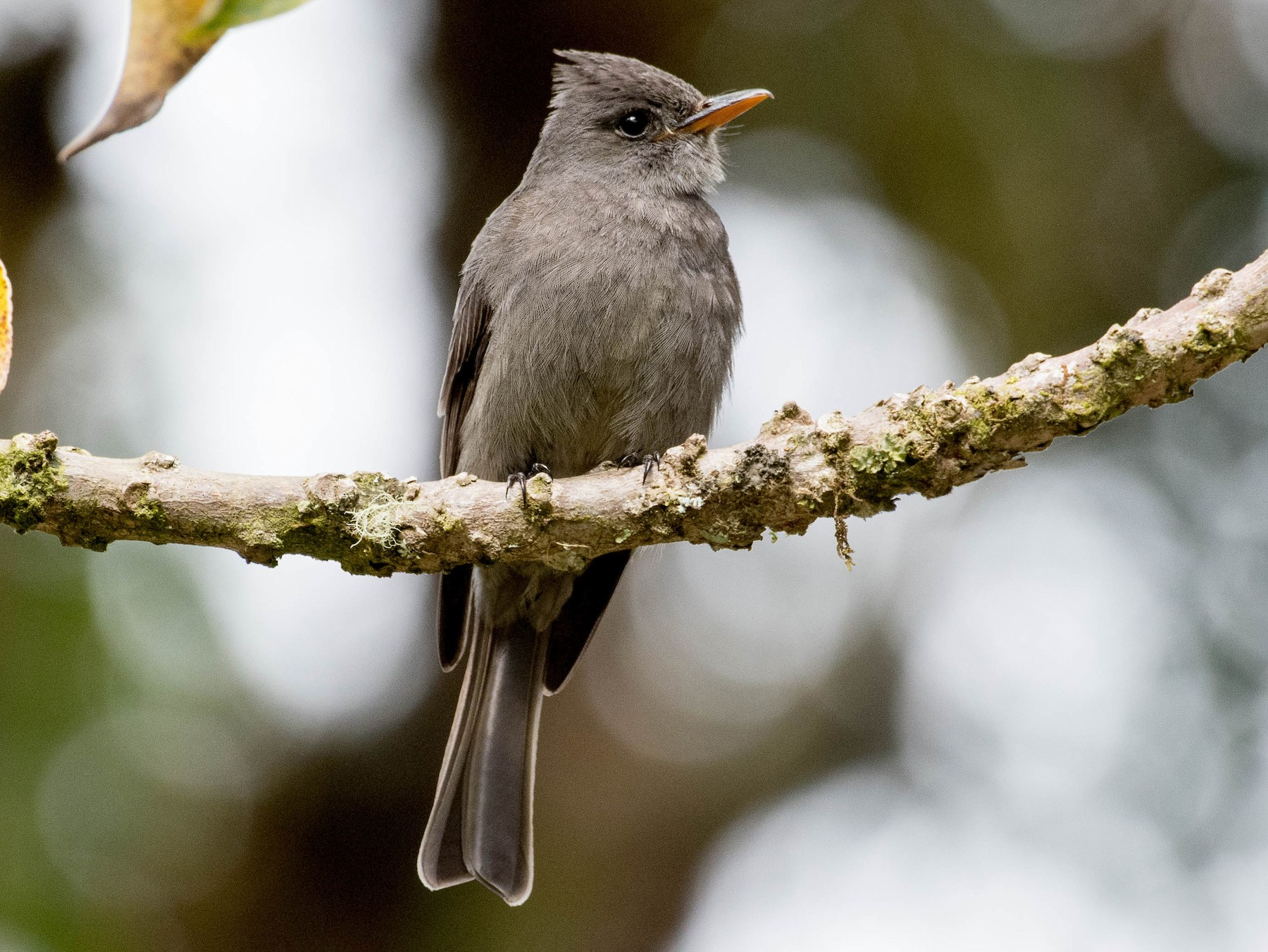 Dark Pewee - Melissa James