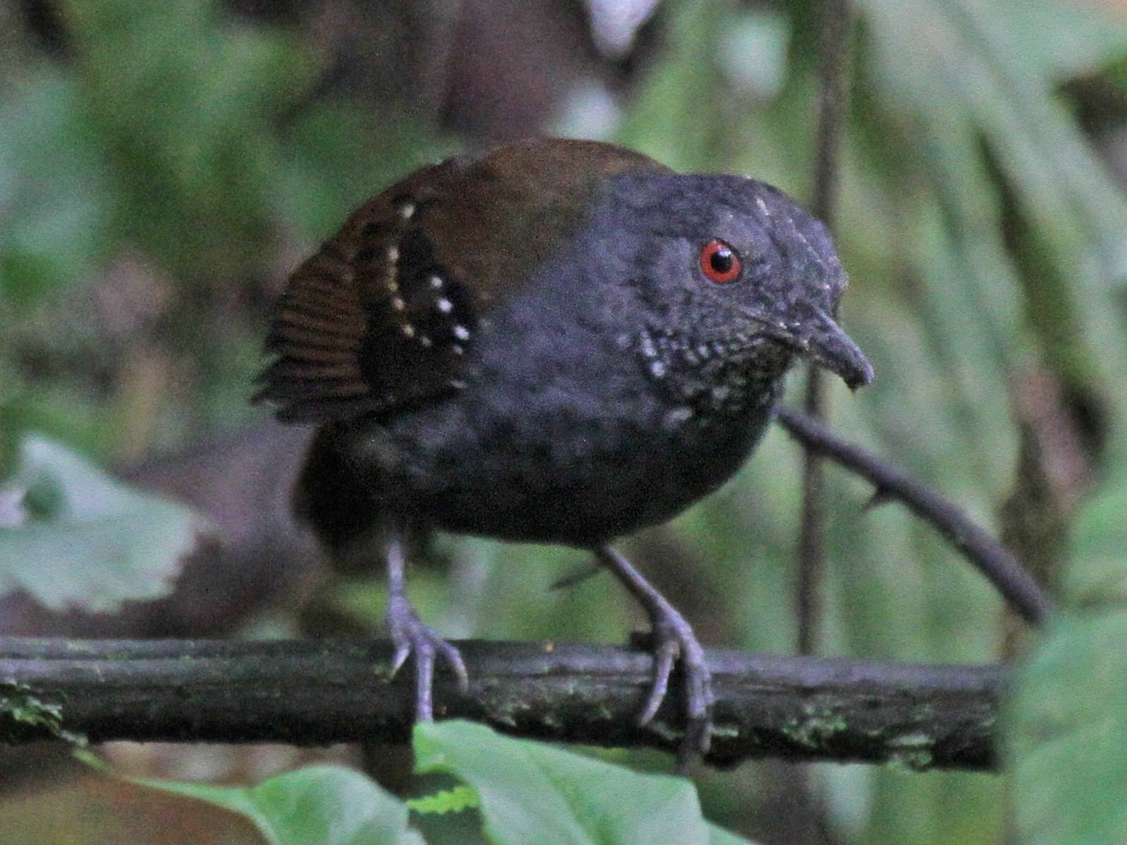 Dull-mantled Antbird - Laura Keene