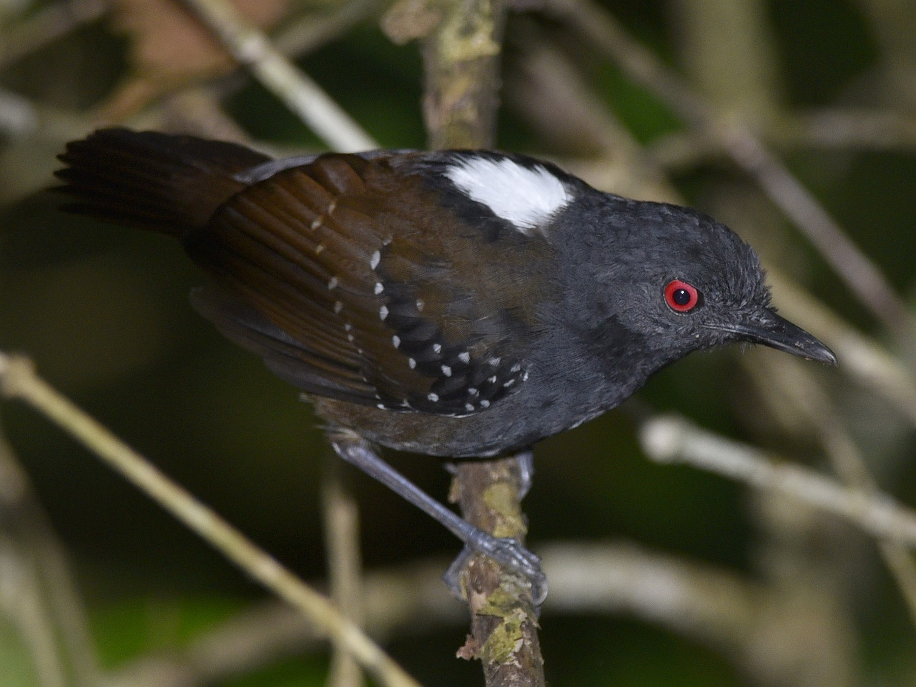 Dull-mantled Antbird - Daniel Irons
