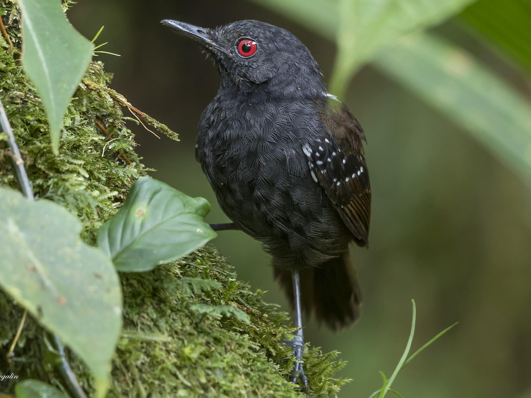 Dull-mantled Antbird - fernando Burgalin Sequeria