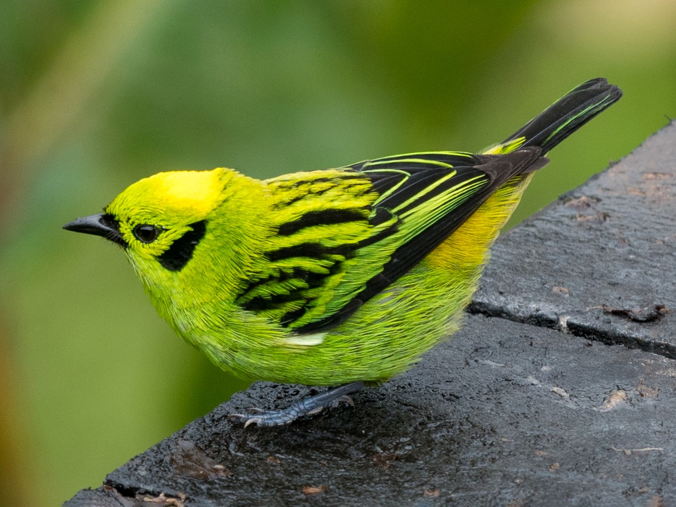 Emerald Tanager - Hans Norelius