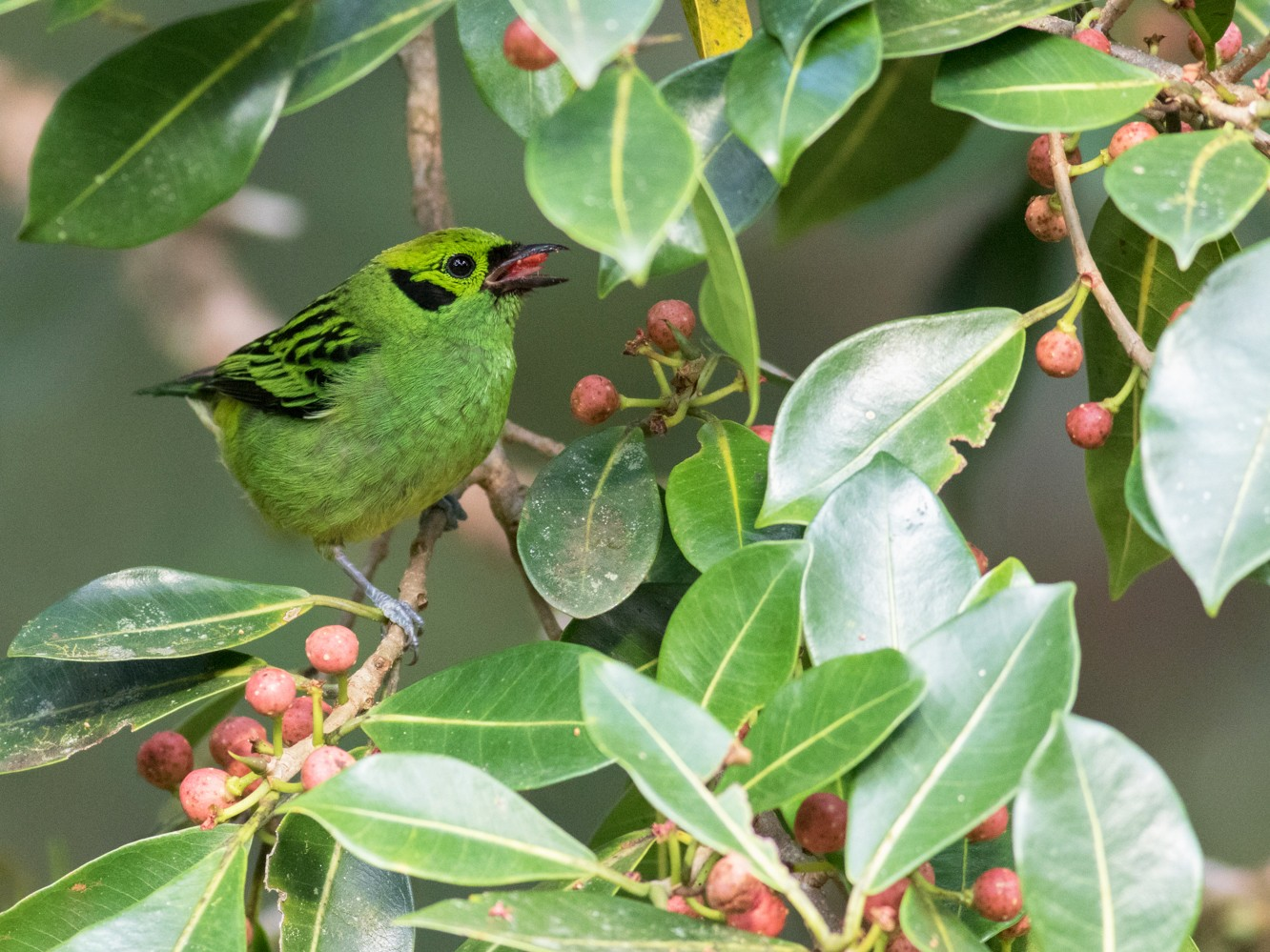Emerald Tanager - Tom Johnson