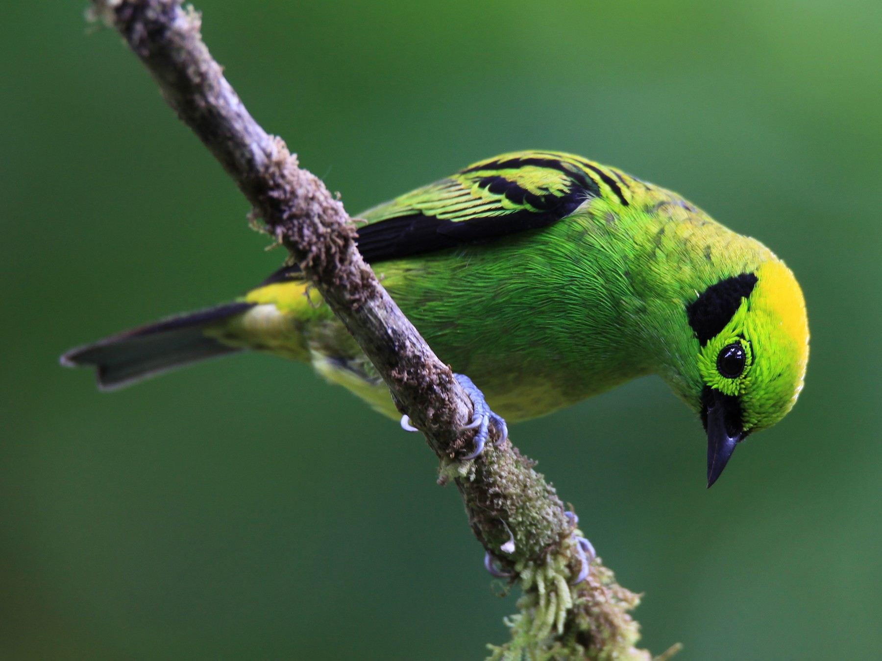Emerald Tanager - Diane St-Jacques