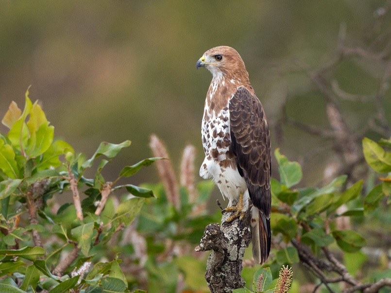 Red-necked Buzzard - Lars Petersson