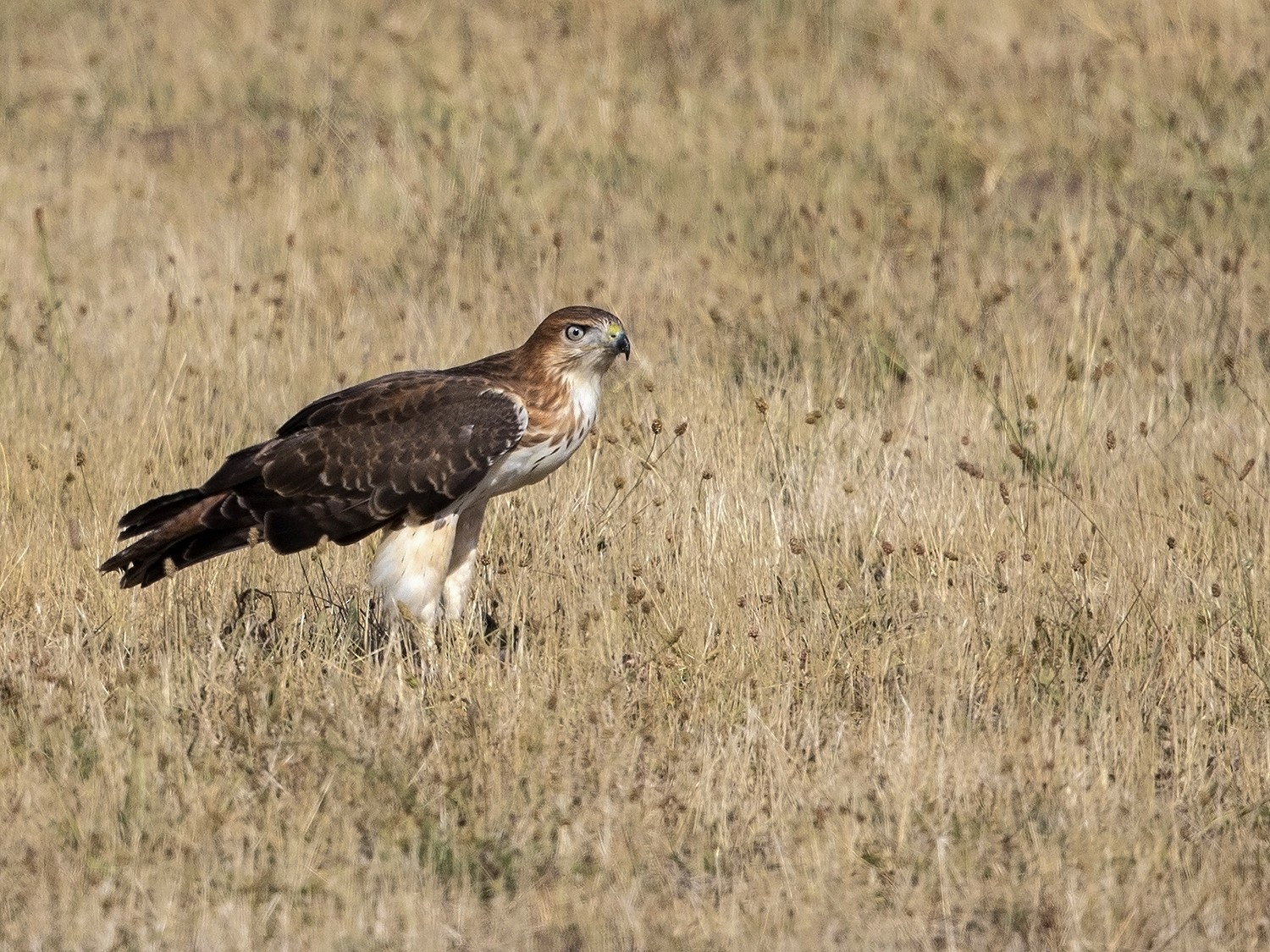 Red-necked Buzzard - Niall D Perrins