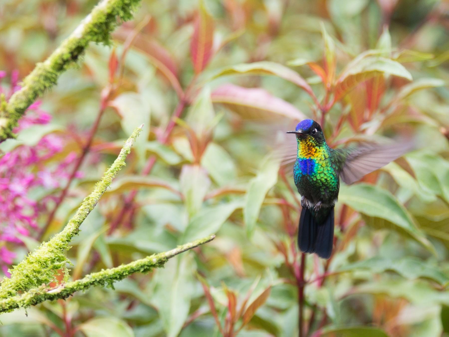 Fiery-throated Hummingbird - Randall Siebert