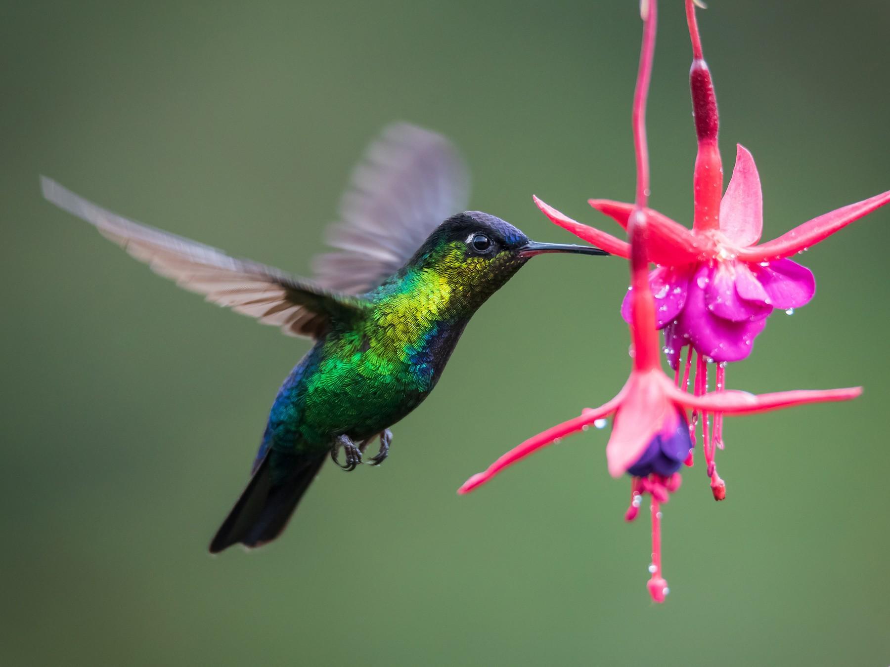 Fiery-throated Hummingbird - Christopher Becerra