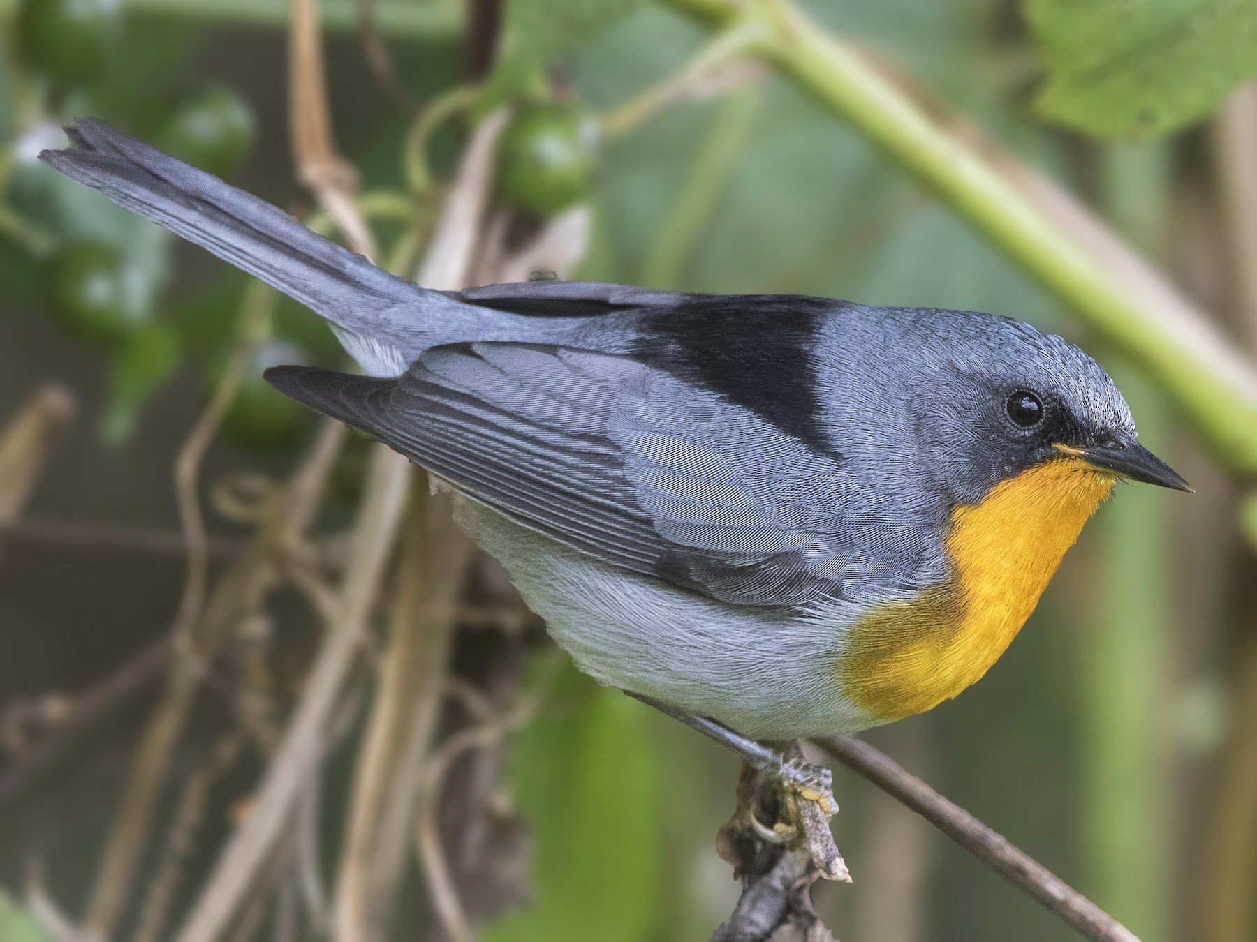 Flame-throated Warbler - Bradley Hacker