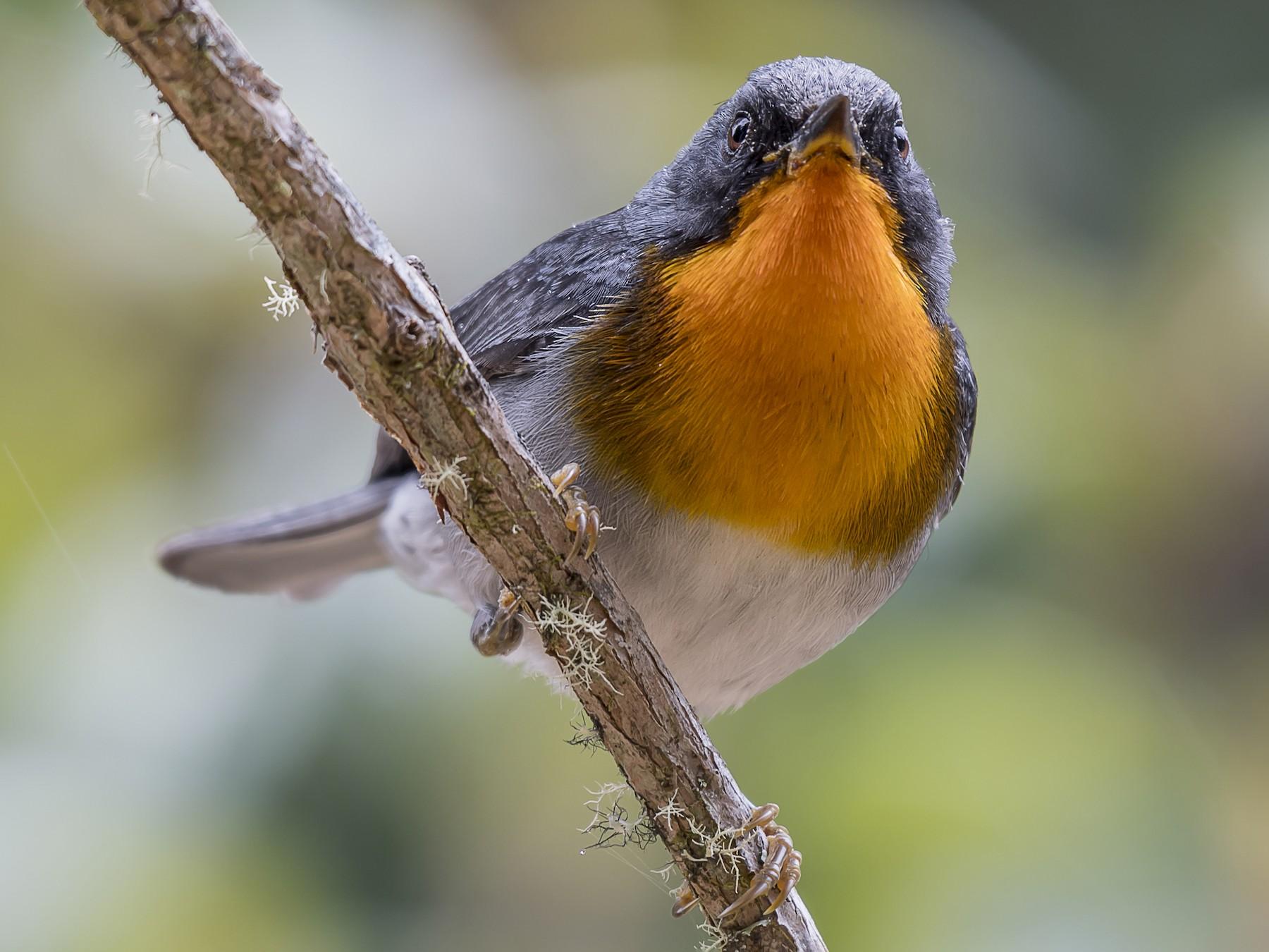 Flame-throated Warbler - fernando Burgalin Sequeria