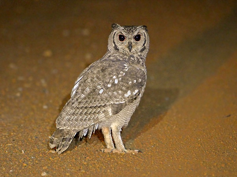 Grayish Eagle-Owl - Nik Borrow
