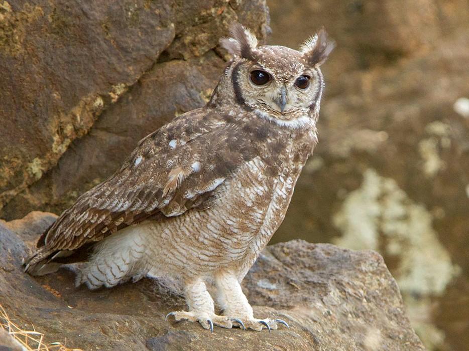 Grayish Eagle-Owl - Maurizio Ravasini