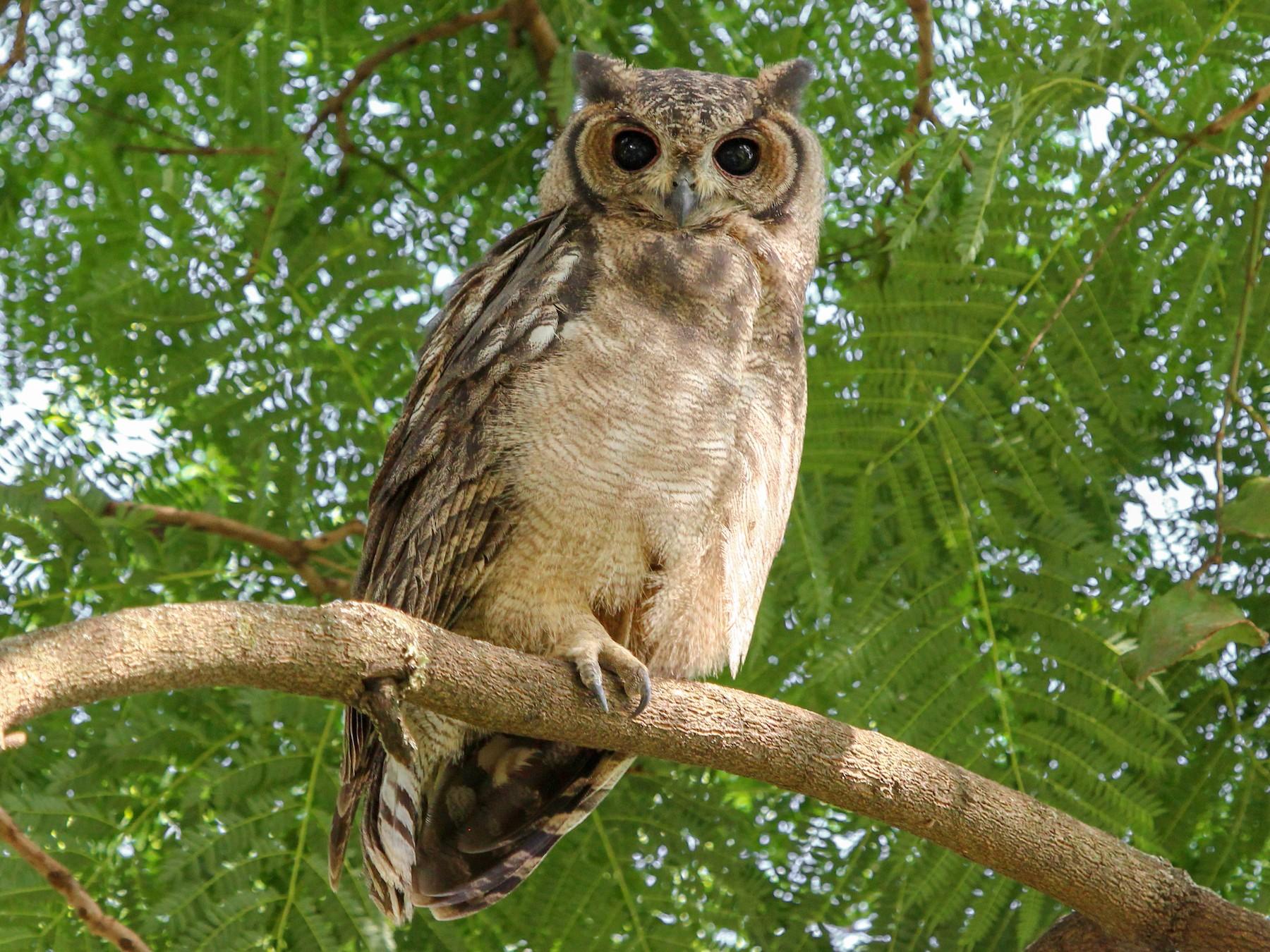 Grayish Eagle-Owl - Justin Goldberg