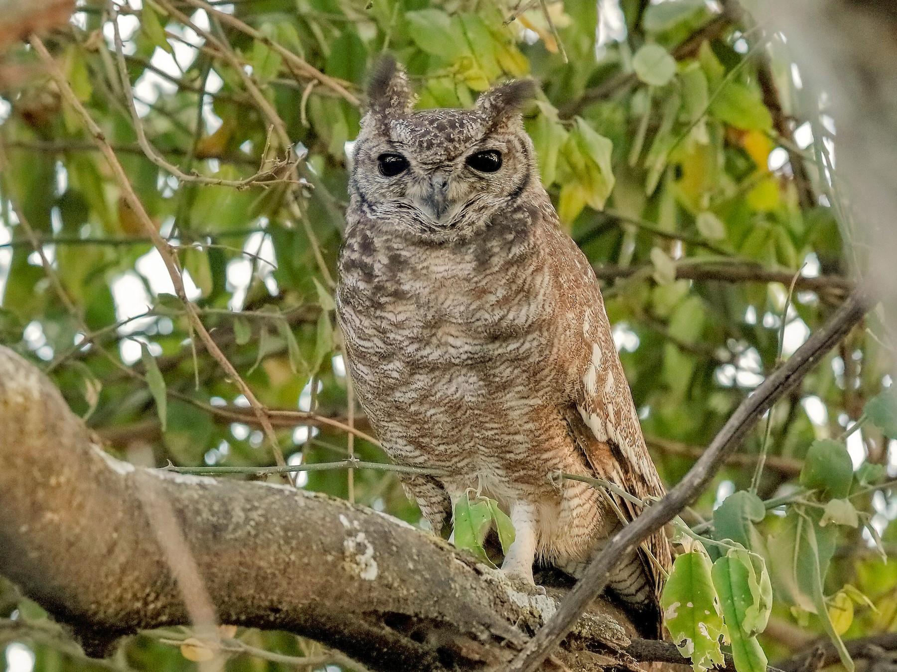 Grayish Eagle-Owl - Holger Teichmann