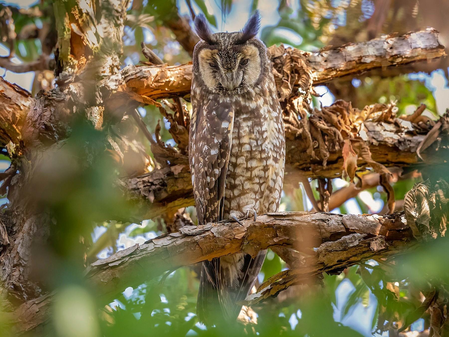 Abyssinian Owl - Stefan  Hirsch