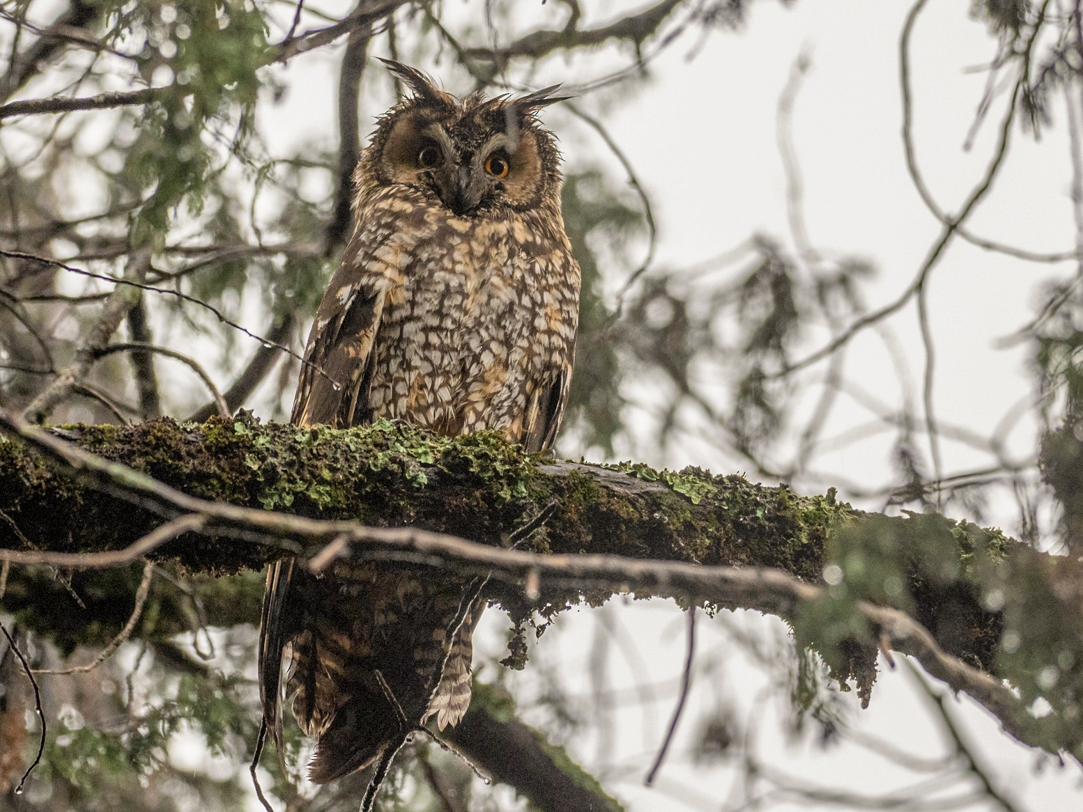 Abyssinian Owl - Forest Jarvis