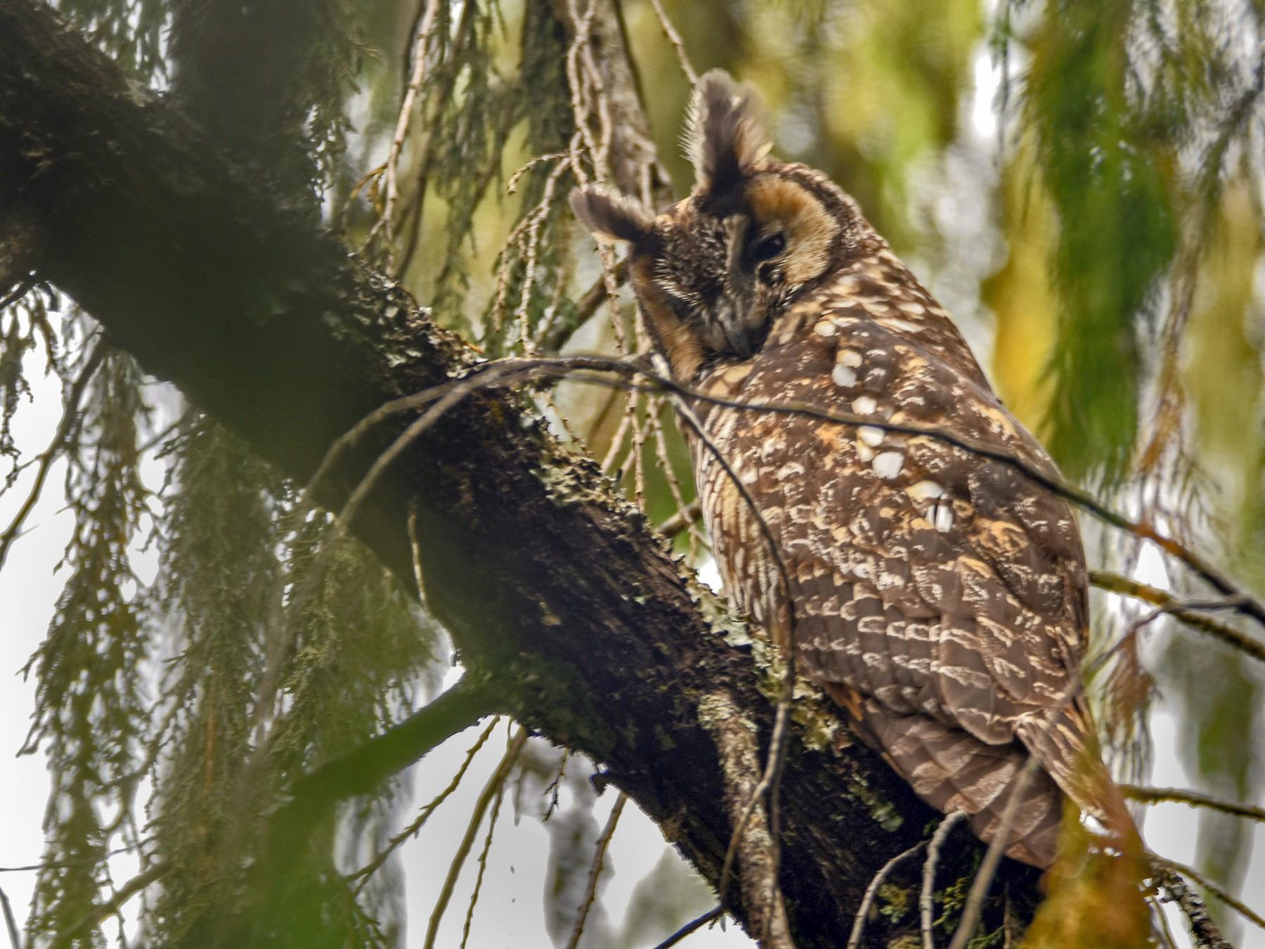 Abyssinian Owl - Brian Henderson