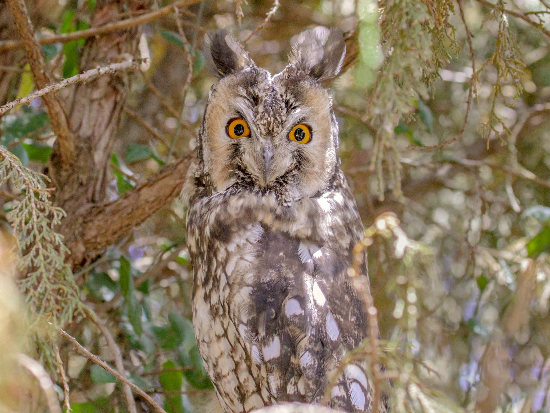 Abyssinian Owl - Tommy Pedersen