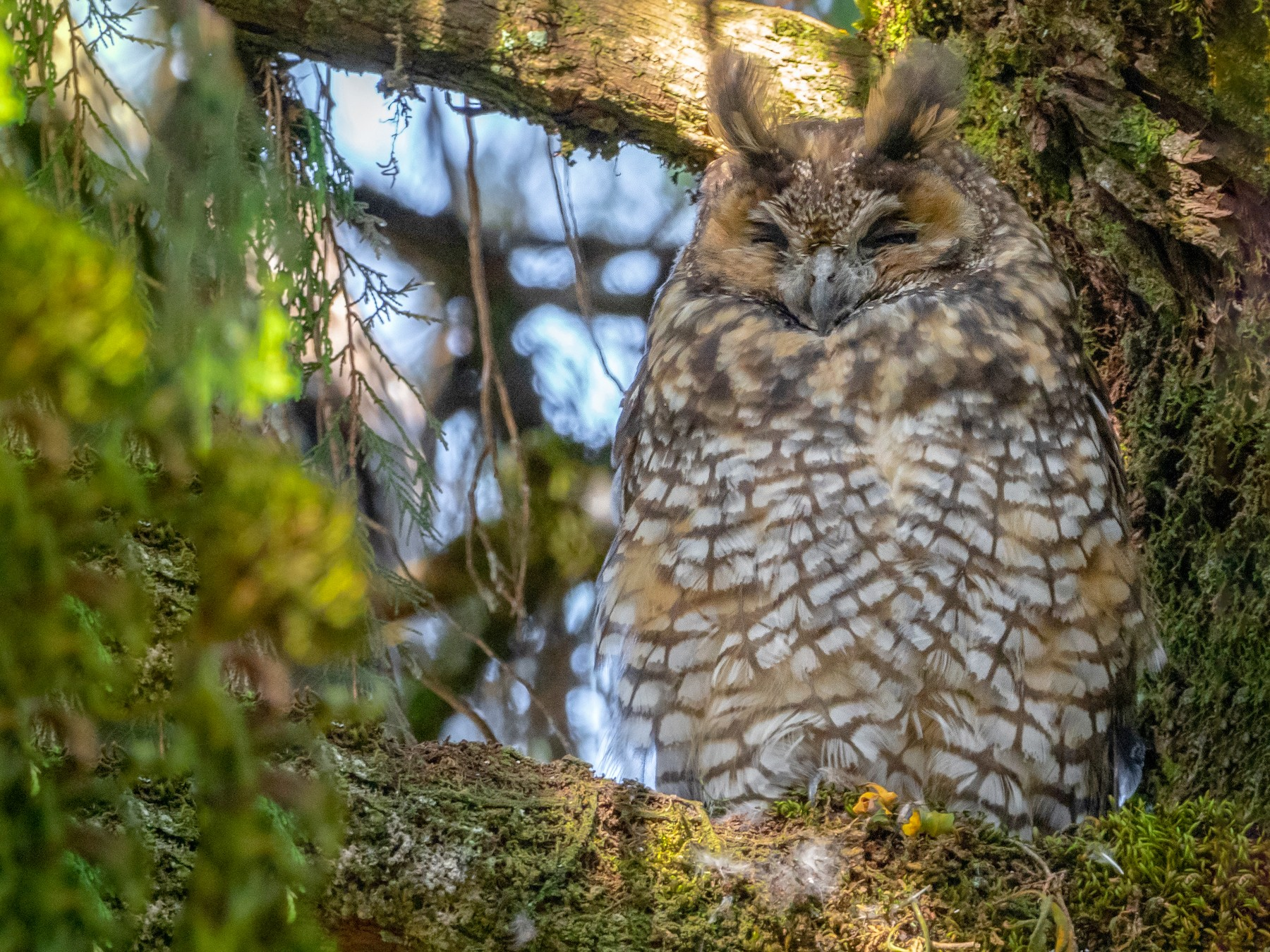 Abyssinian Owl - Phil Chaon