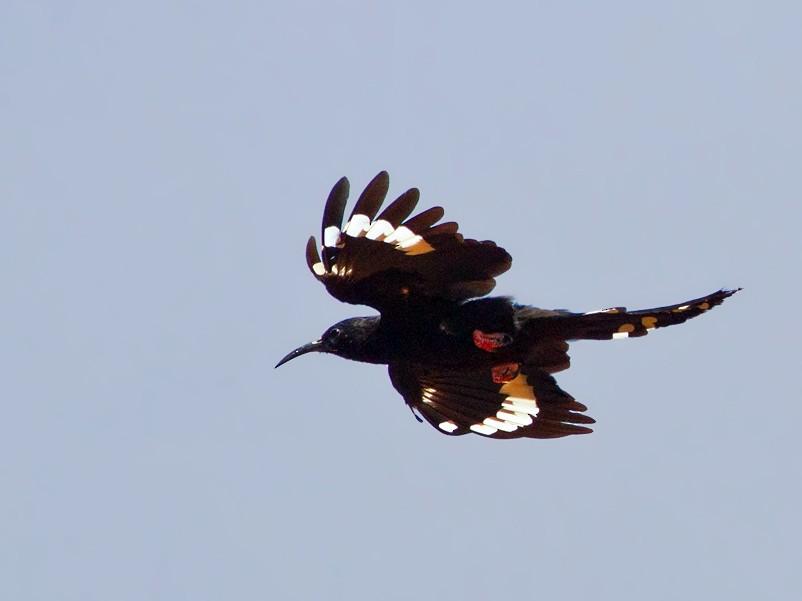 Black-billed Woodhoopoe - Morten Venas