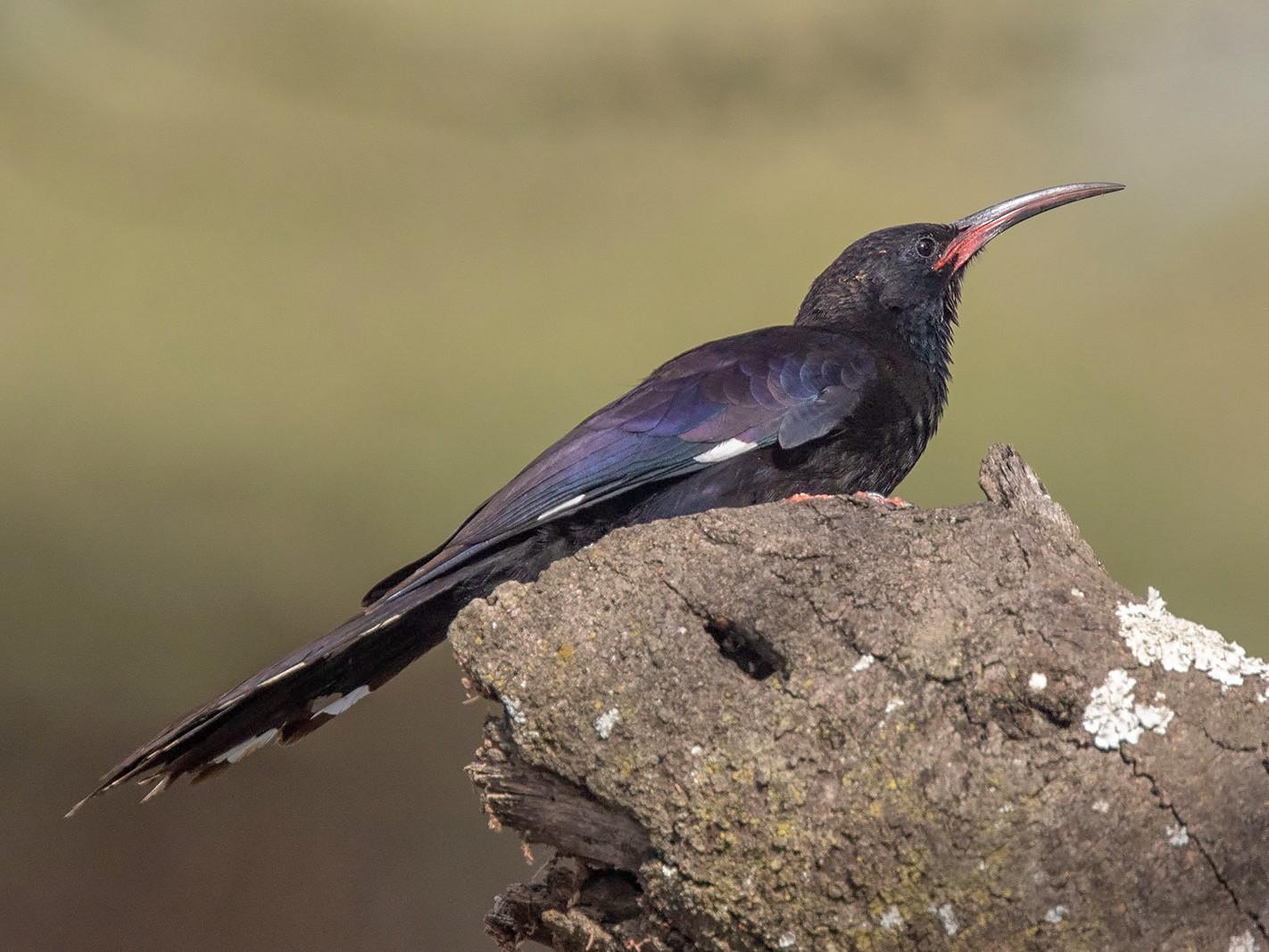 Black-billed Woodhoopoe - Arthur Grosset