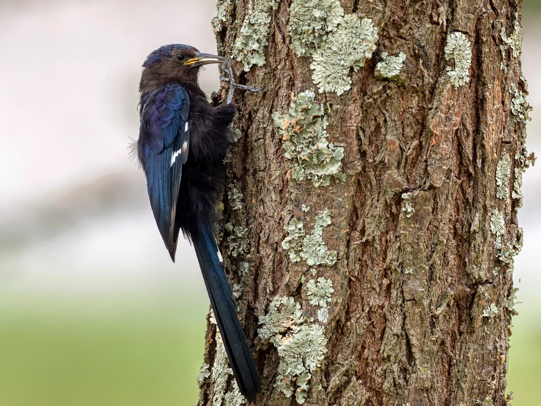 Black Scimitarbill - Forest Jarvis
