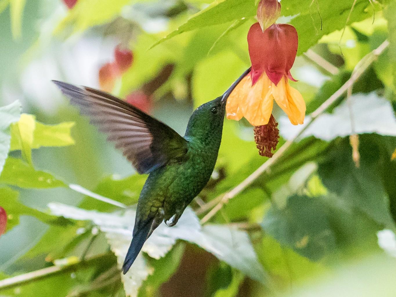 Steely-vented Hummingbird - David Monroy Rengifo