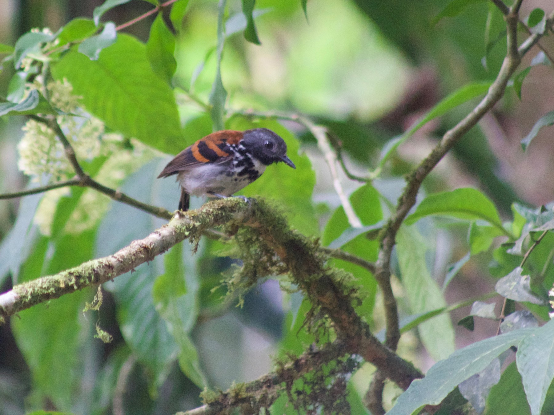 Spotted Antbird - Tahiry Langrand