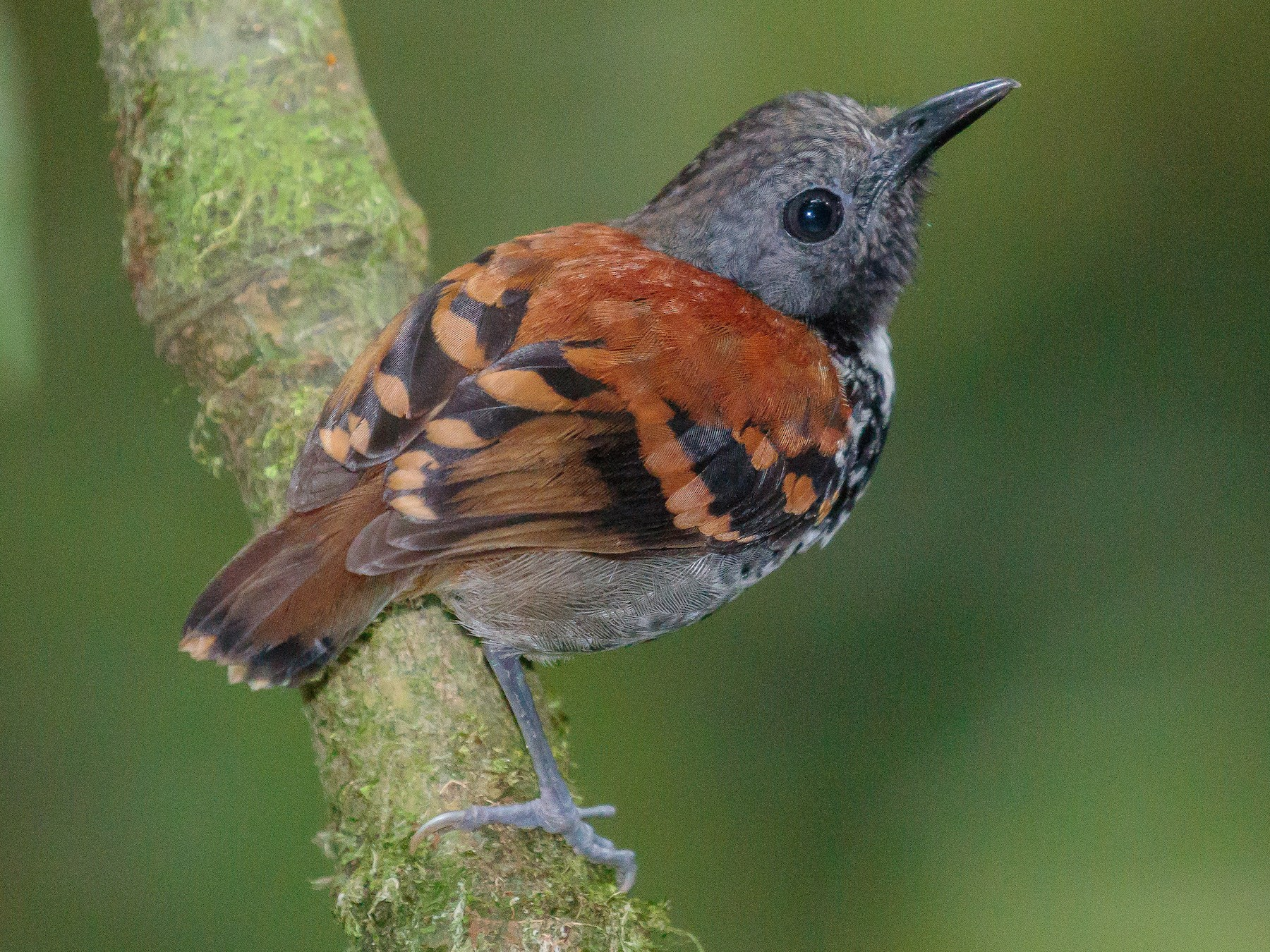 Spotted Antbird - Martin  Flack