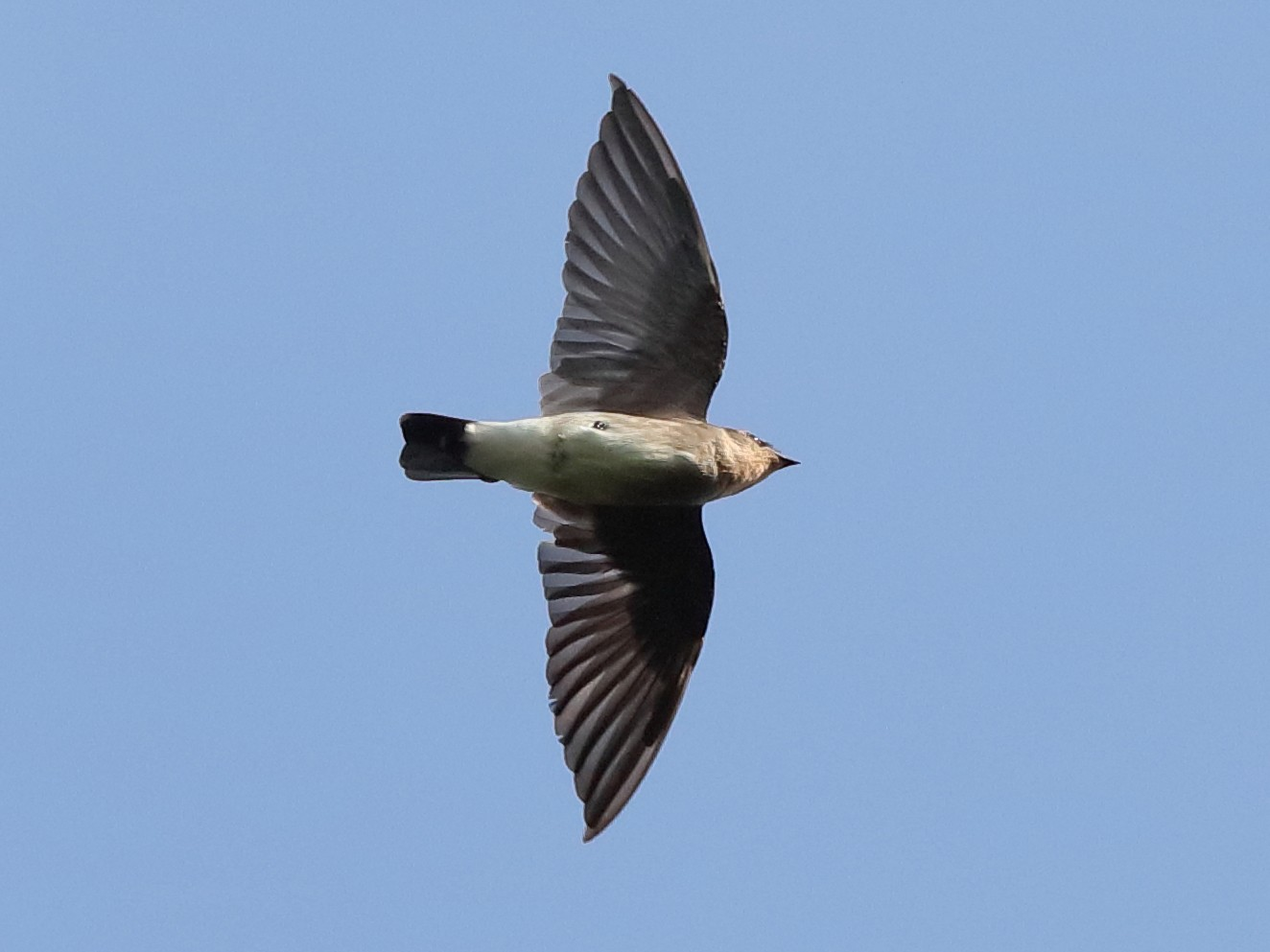 Southern Rough-winged Swallow - Holger Teichmann