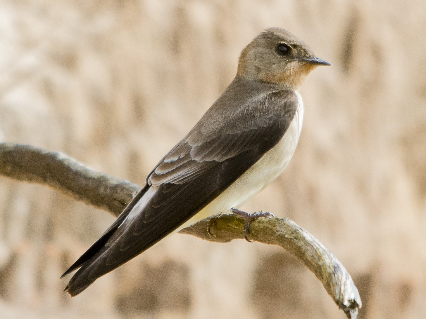 Southern Rough-winged Swallow - Jerome Foster