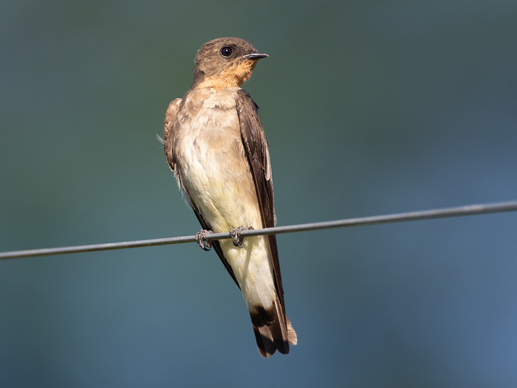Southern Rough-winged Swallow - Chris Wood