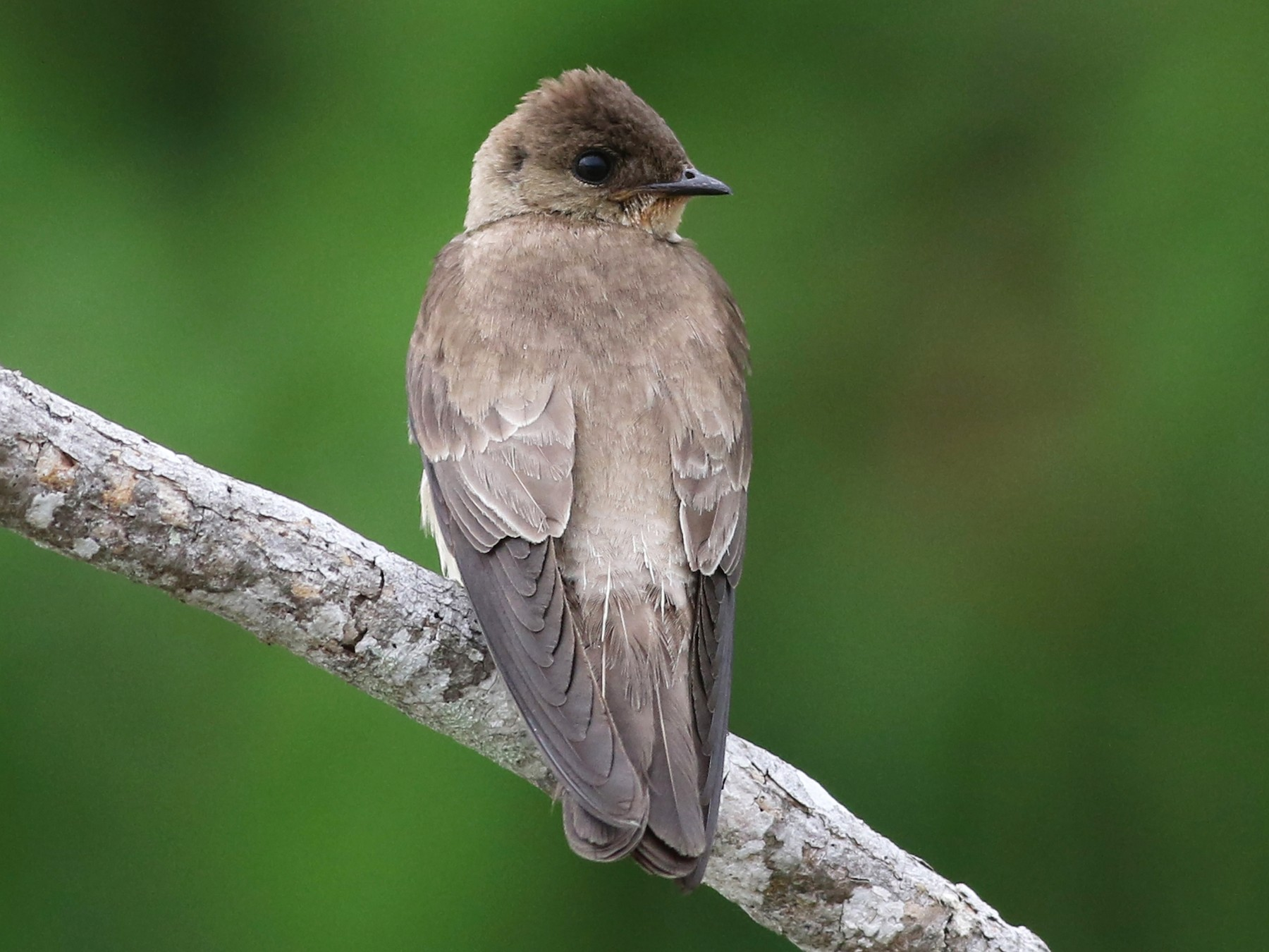 Southern Rough-winged Swallow - Nick Bonomo