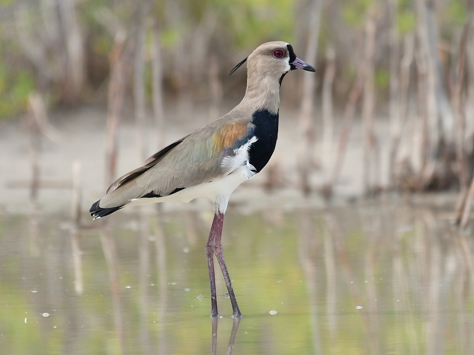 Southern Lapwing - Michiel Oversteegen