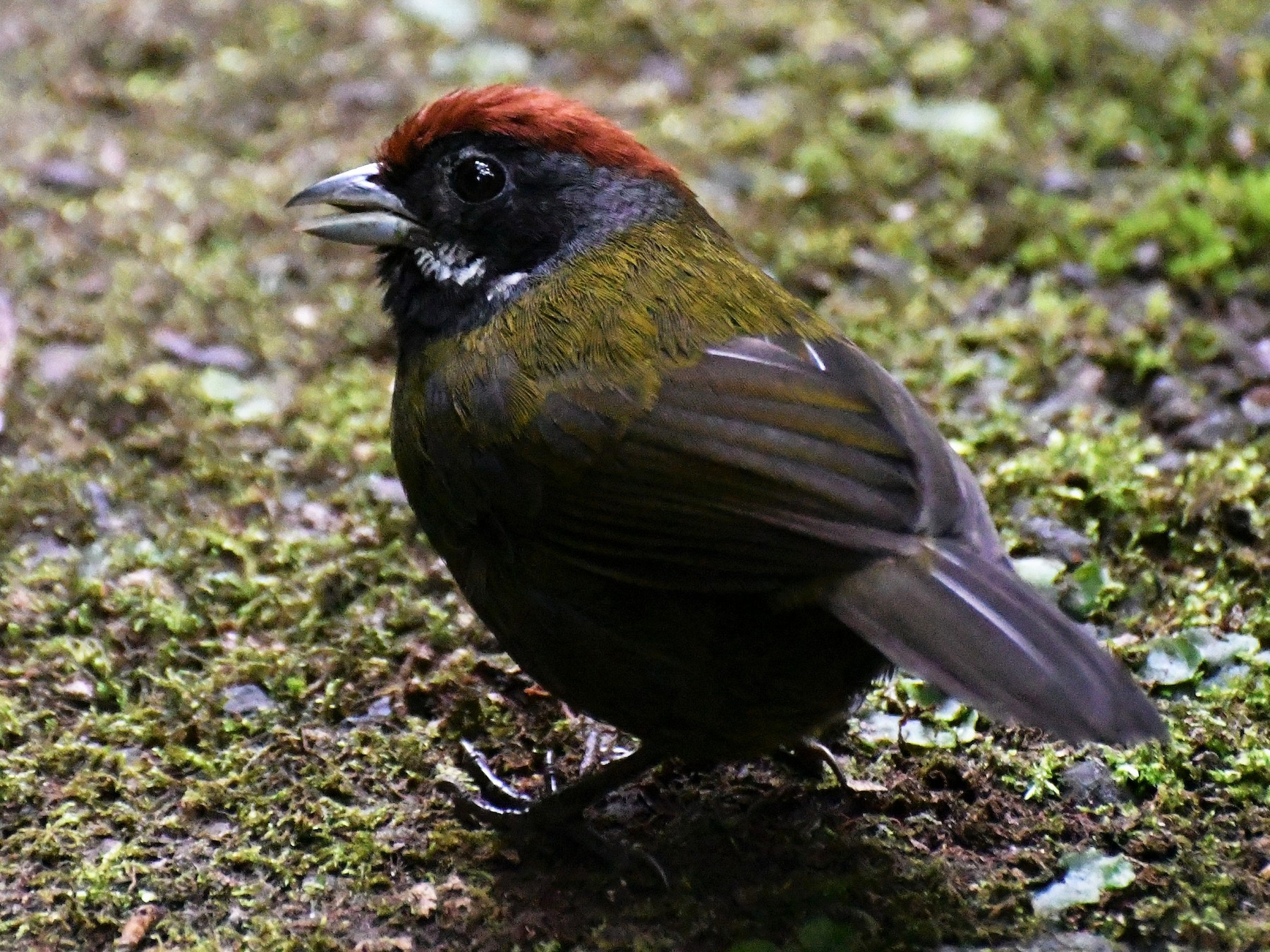 Sooty-faced Finch - David W Foster