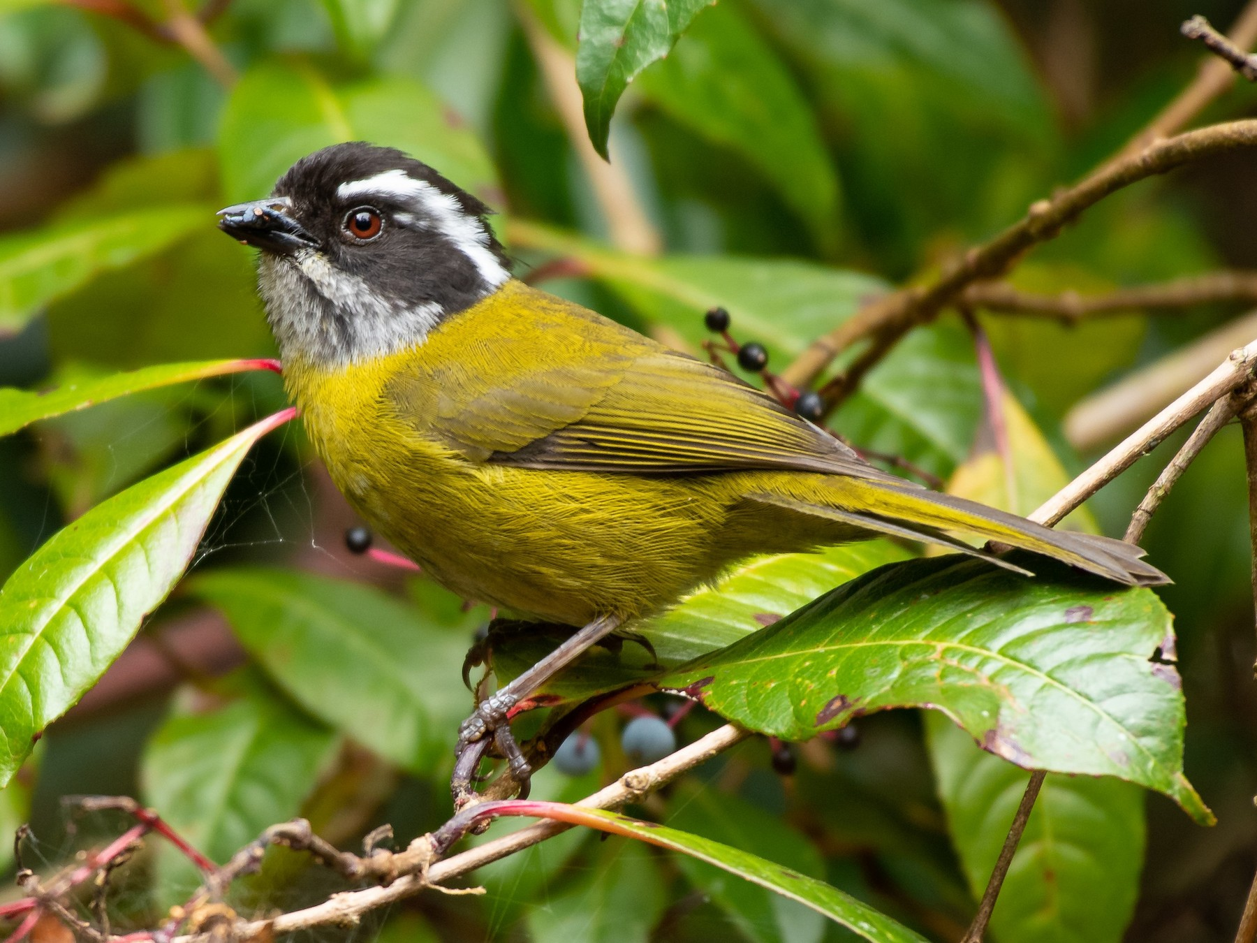 Sooty-capped Chlorospingus - Rio Dante