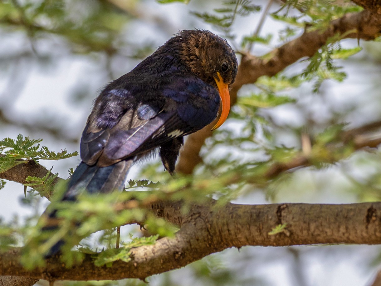 Abyssinian Scimitarbill - Forest Jarvis