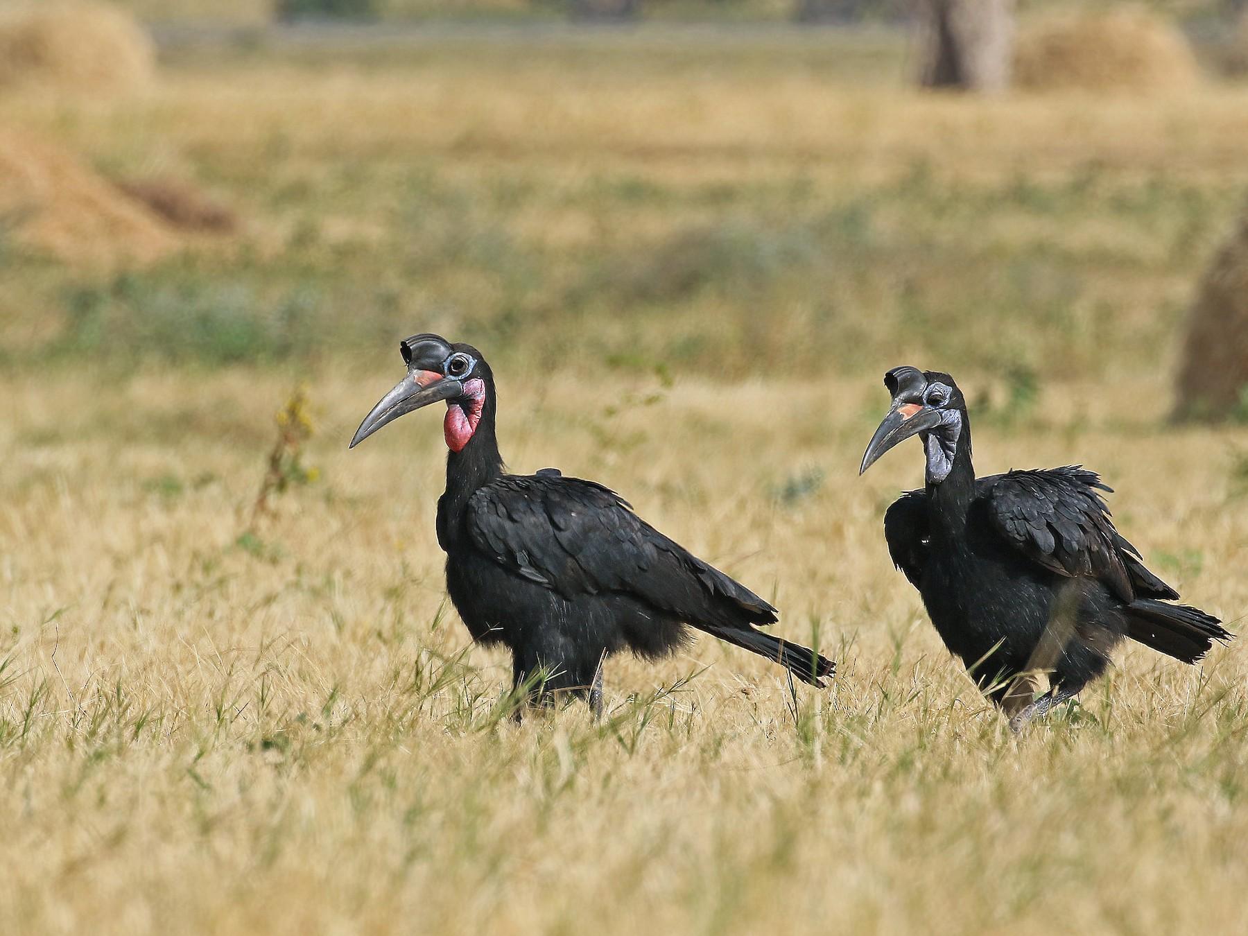 Abyssinian Ground-Hornbill - Andrew Spencer