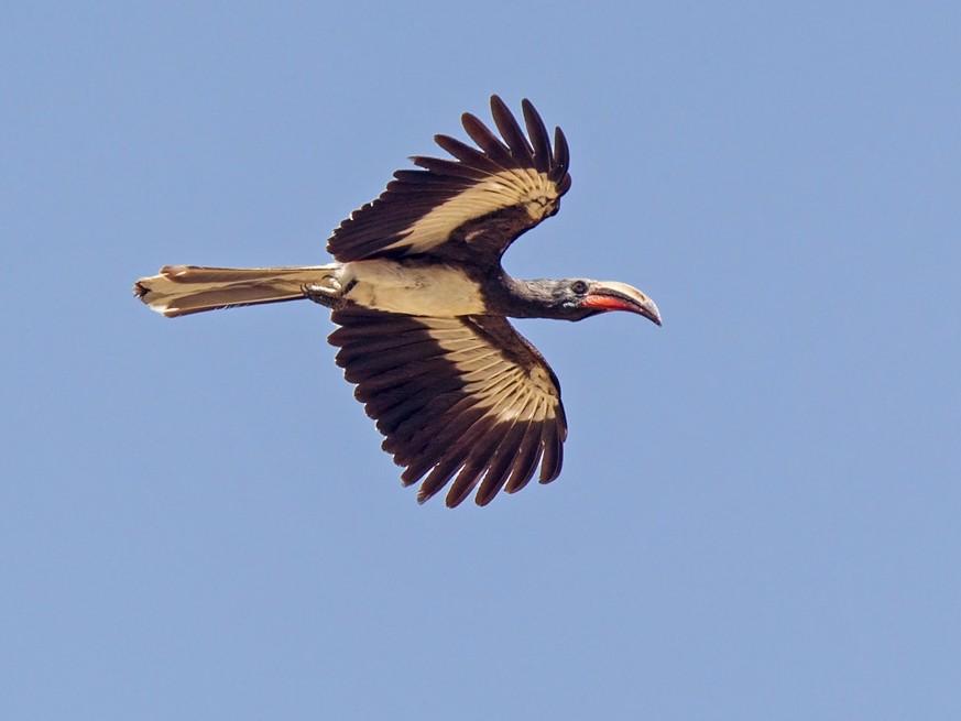 Hemprich's Hornbill - Niall D Perrins