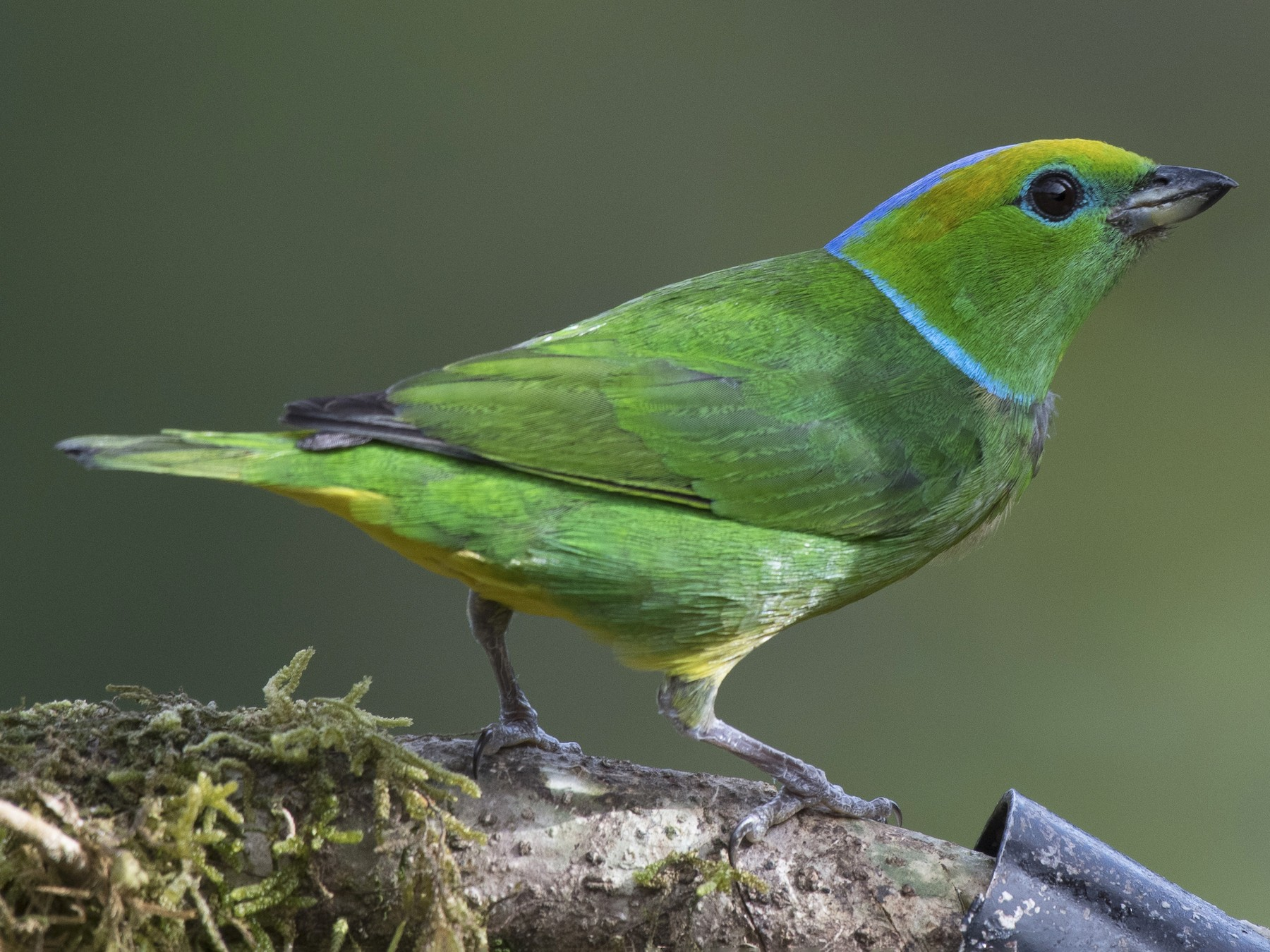 Golden-browed Chlorophonia - Anthony Kaduck
