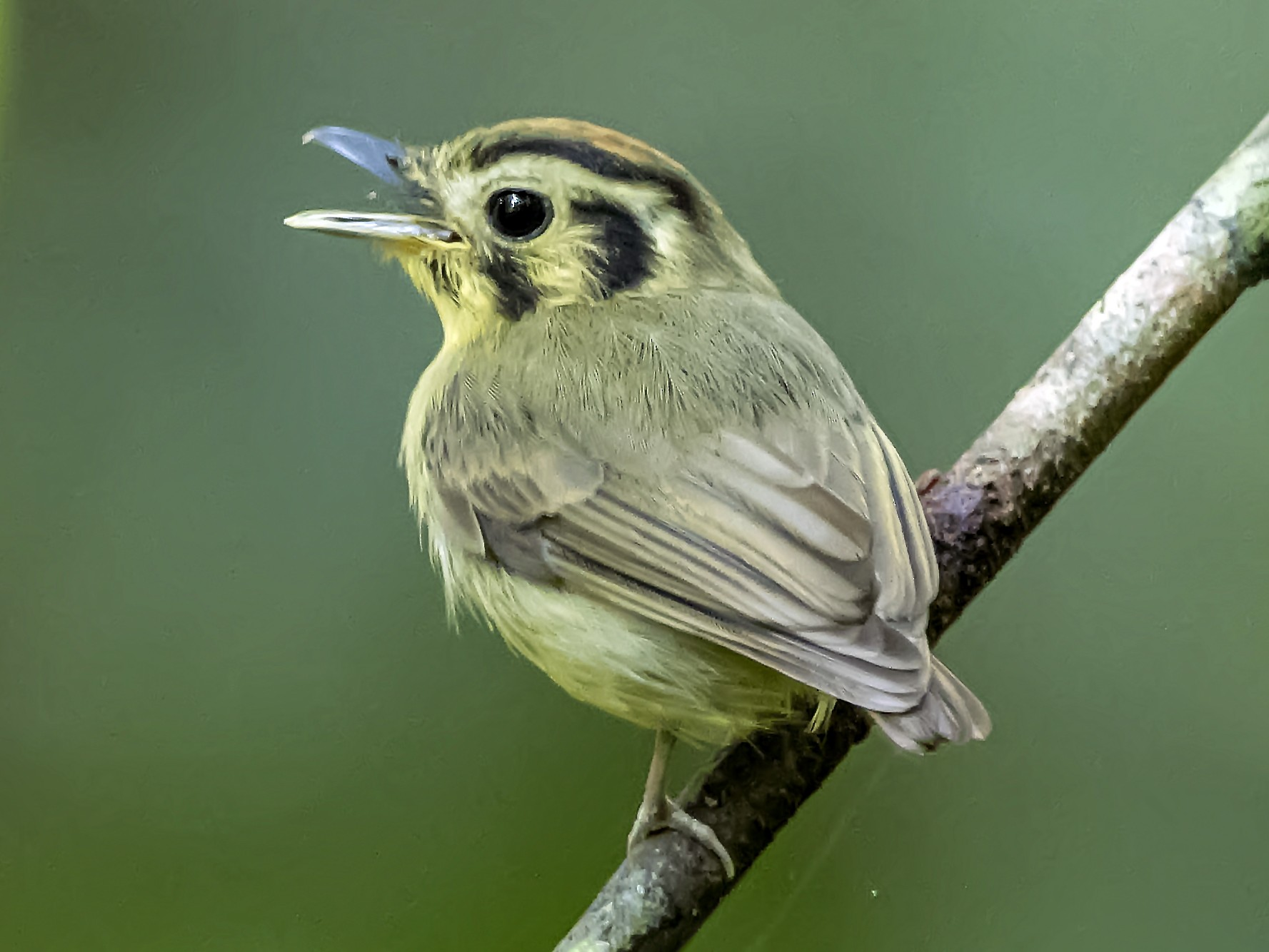 Golden-crowned Spadebill - Leandro Arias