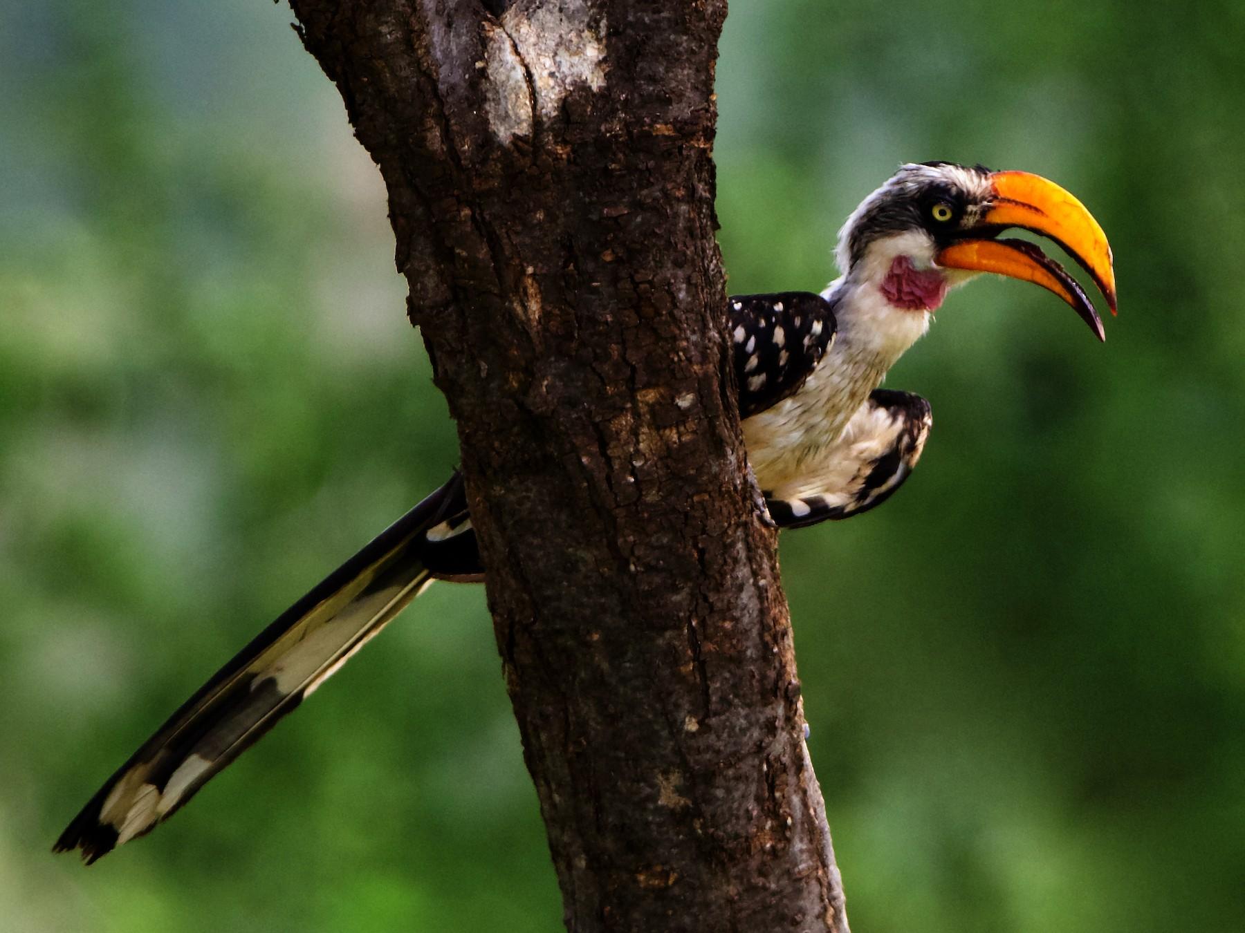 Eastern Yellow-billed Hornbill - Peder Svingen