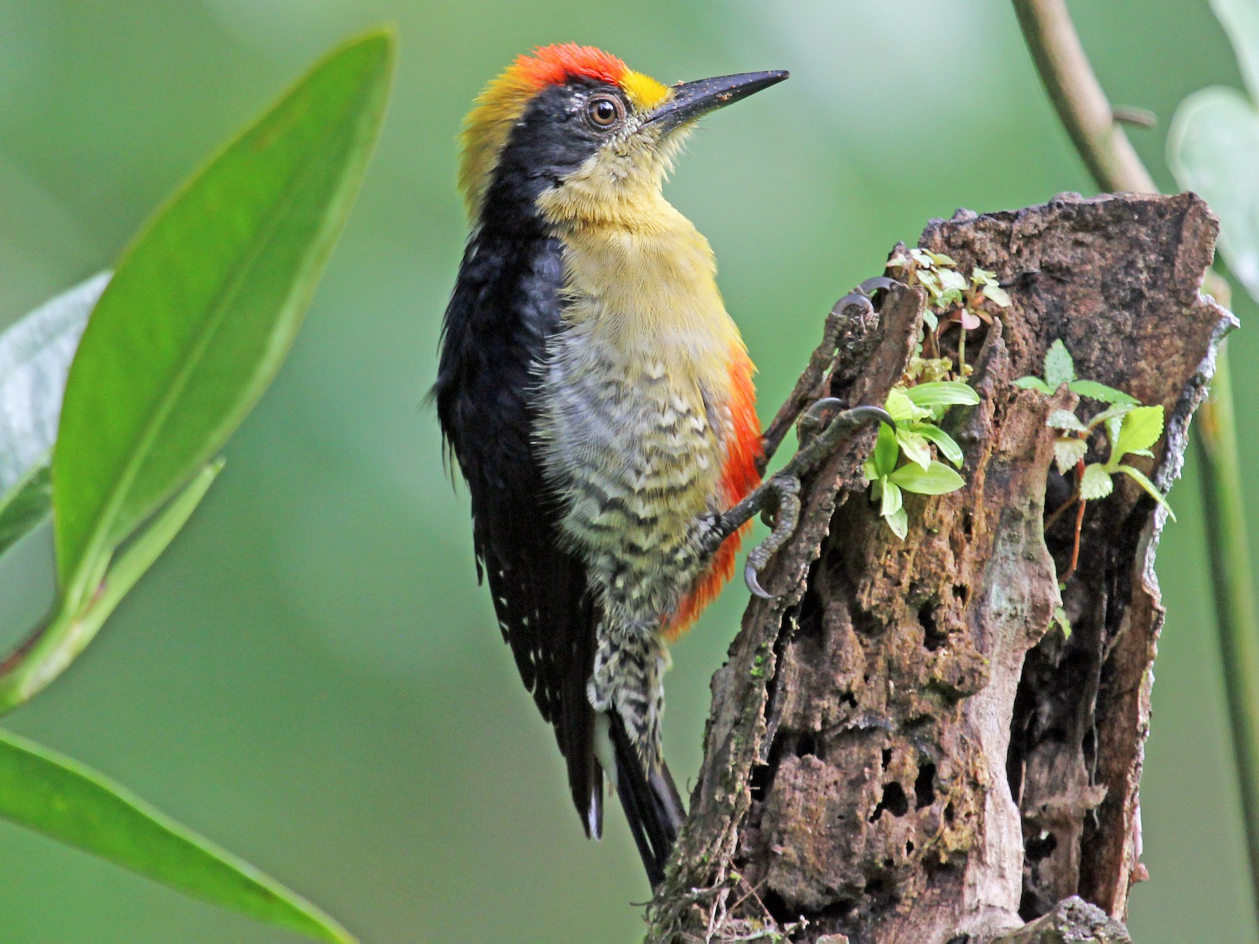 Golden-naped Woodpecker - Greg  Griffith