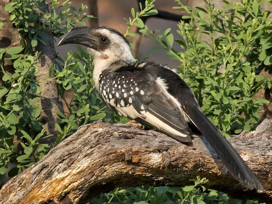 Jackson's Hornbill - Lars Petersson