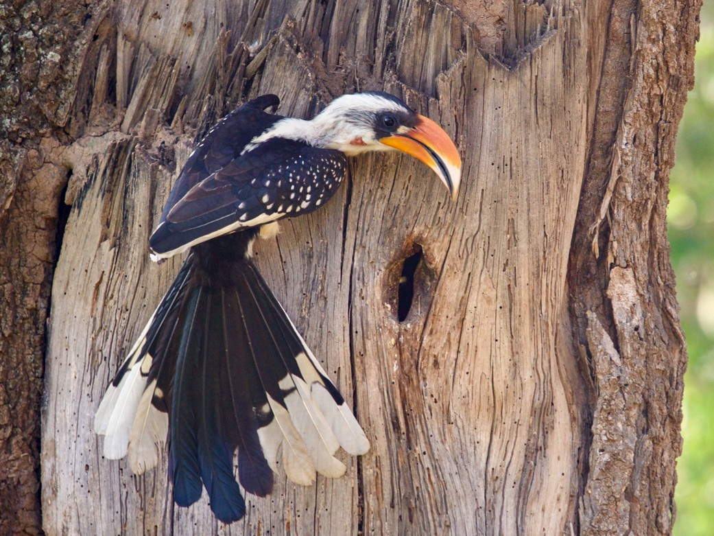 Jackson's Hornbill - Qin Huang
