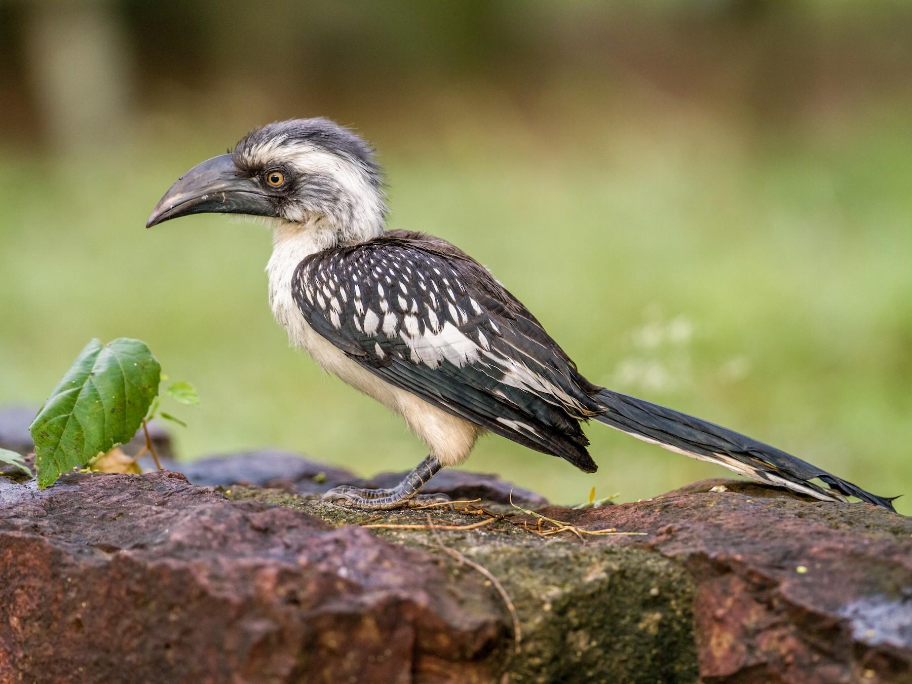 Jackson's Hornbill - Nick Athanas