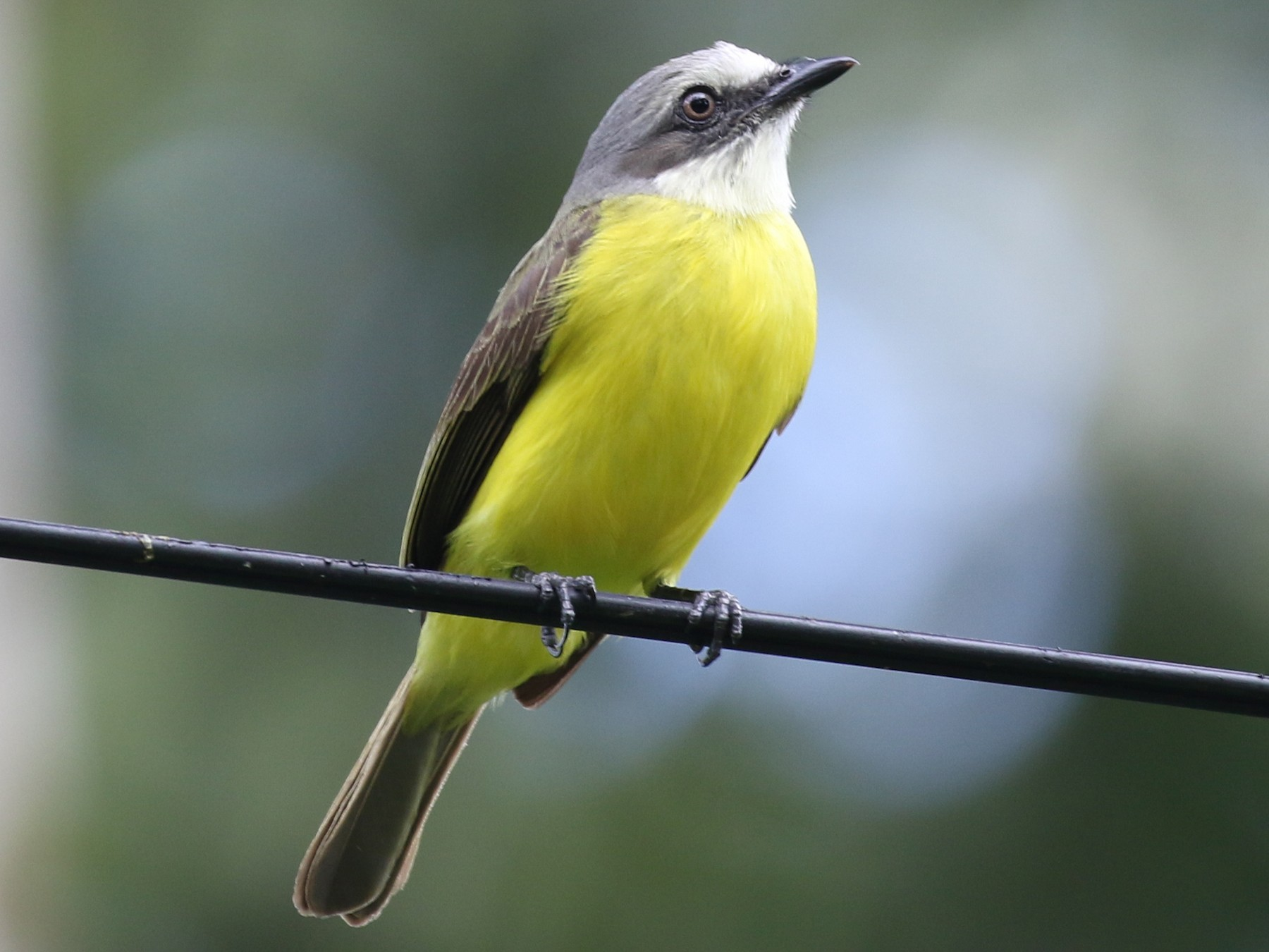 Gray-capped Flycatcher - Greg Bodker