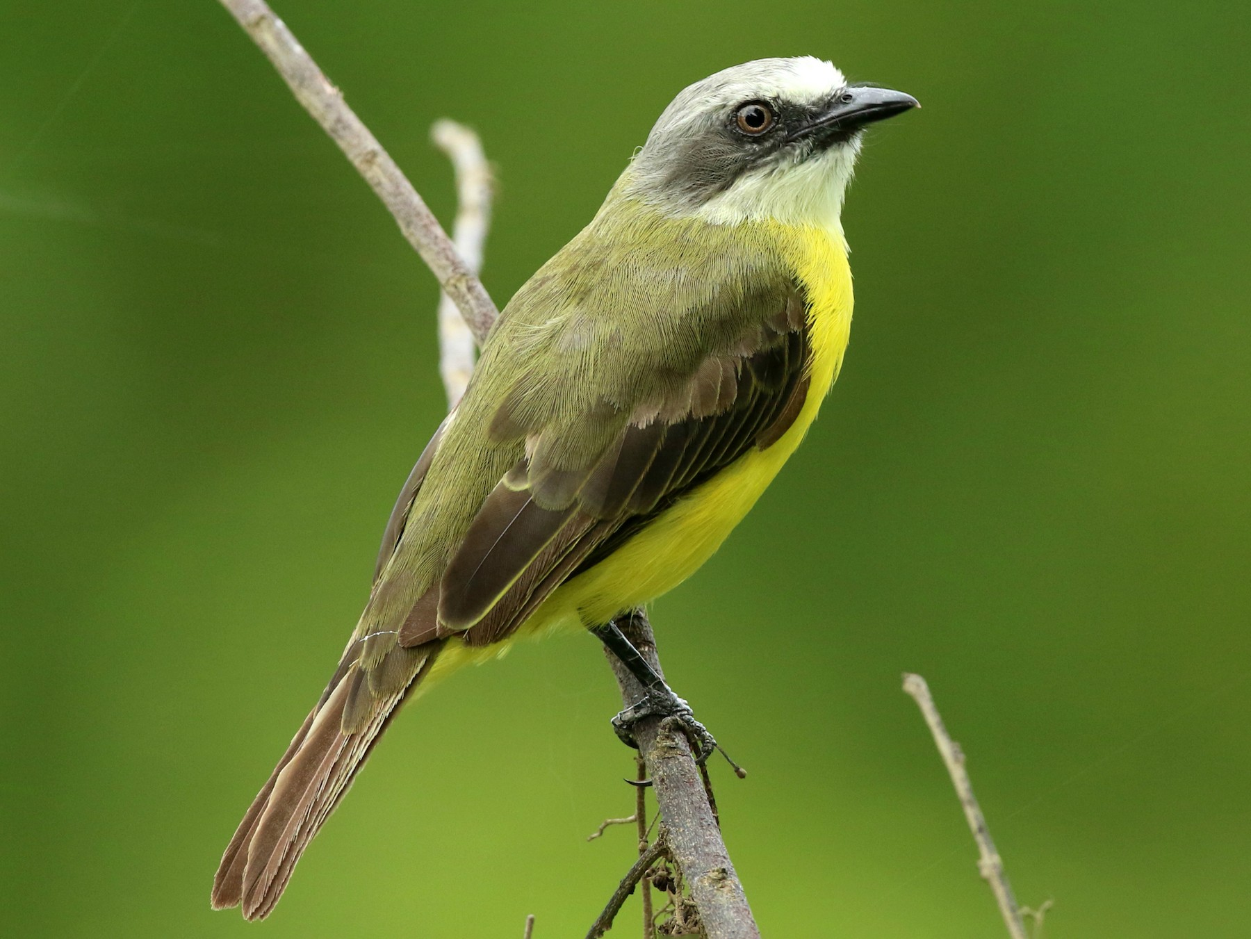 Gray-capped Flycatcher - John Deitsch