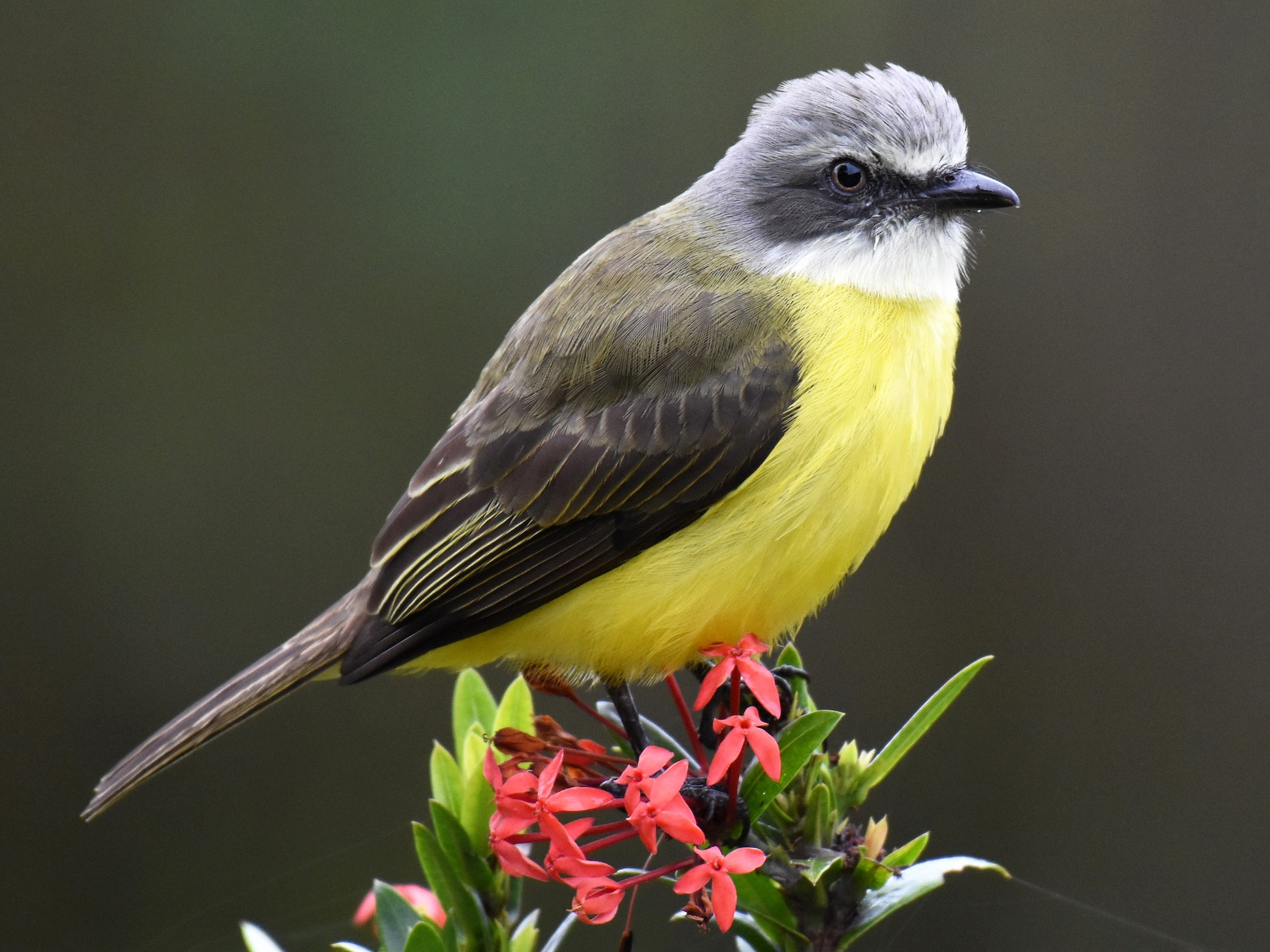 Gray-capped Flycatcher - Jason Vassallo
