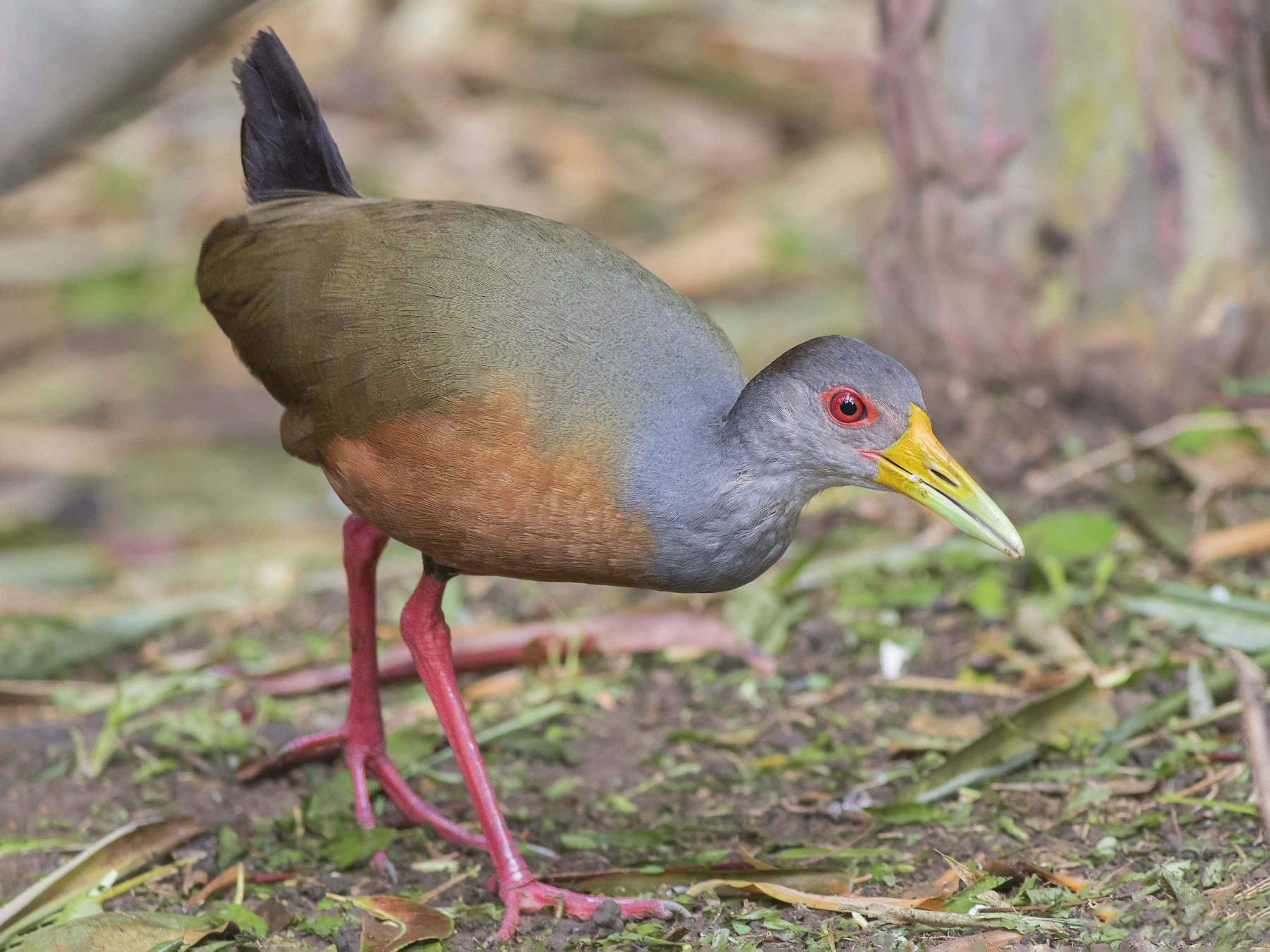 Gray-cowled Wood-Rail - Guillermo  Saborío Vega